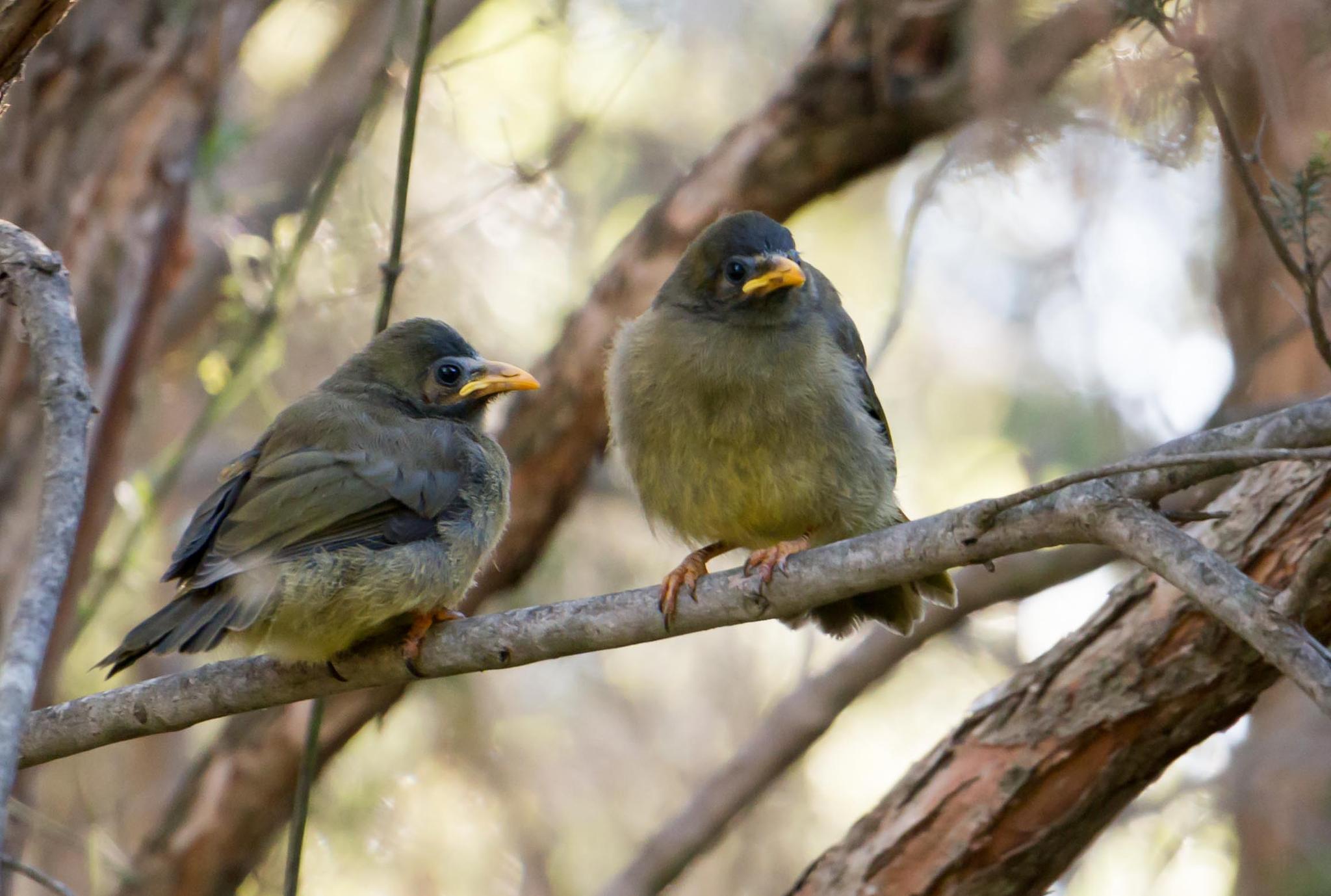 Bell miner bird chicks by tastigr