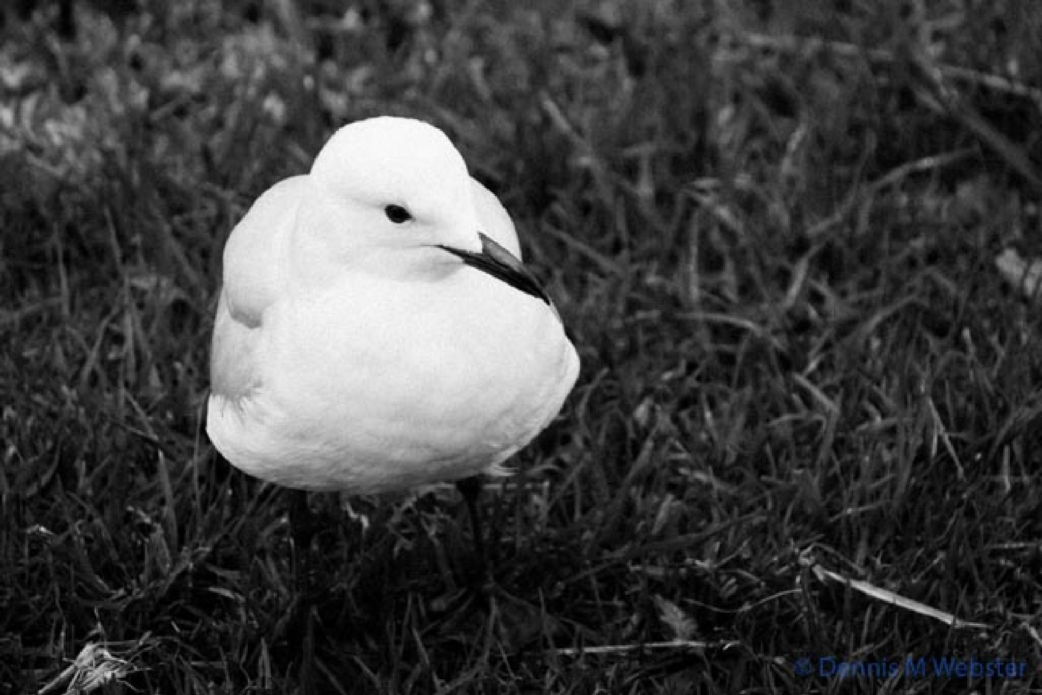 Photo in Nature #alexandra gardens #melbourne #cold #wet #winter #silver gull #bird #black and white #poser