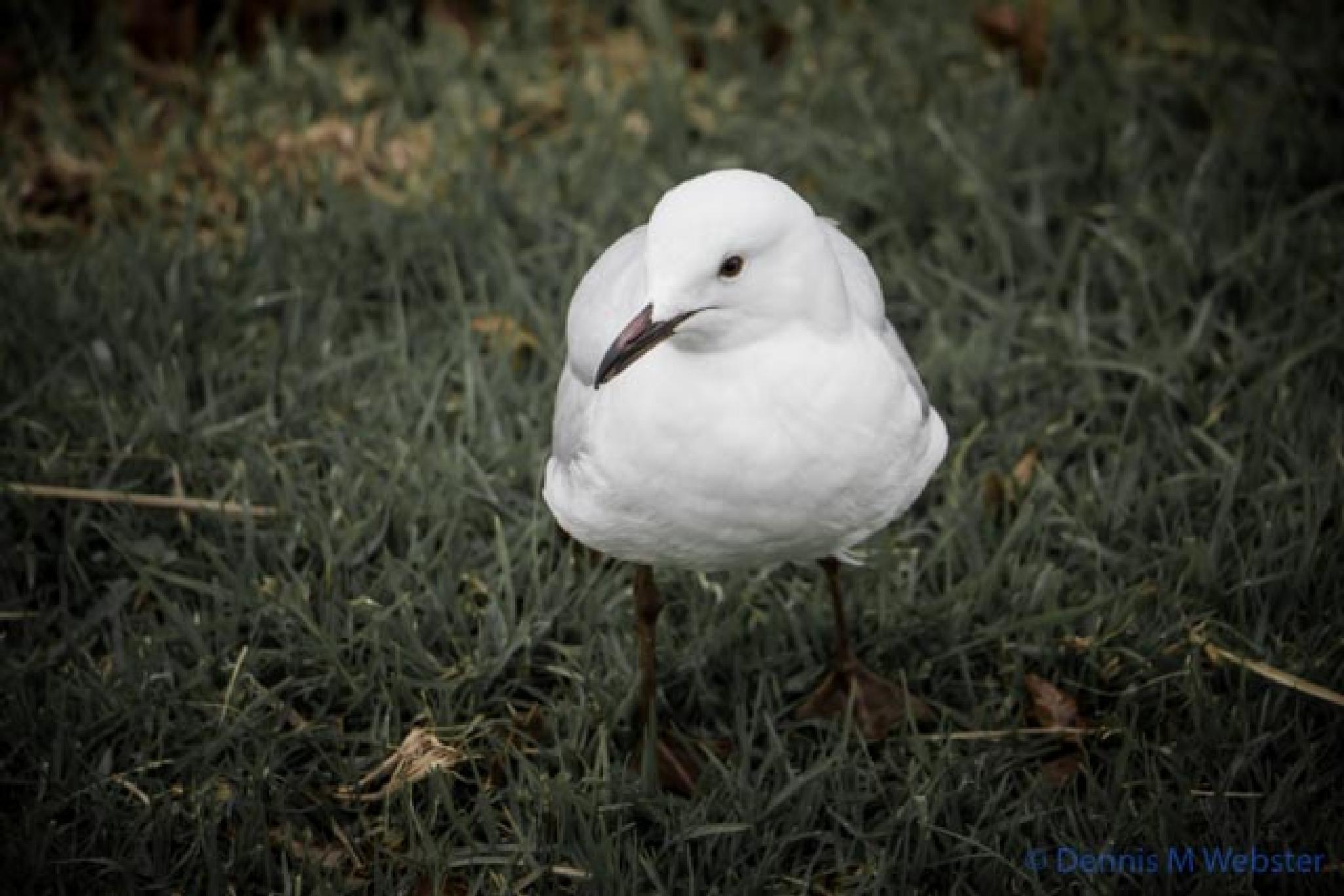 Photo in Nature #alexandra gardens #melbourne #cold #wet #winter #silver gull #bird #gloomy