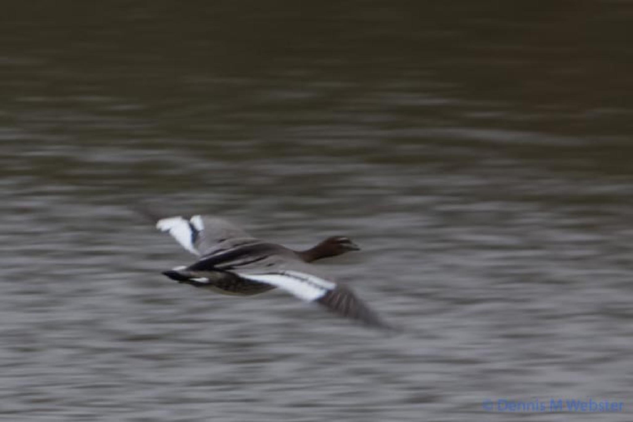 Photo in Nature #alexandra gardens #melbourne #cold #wet #winter #duck #water #upstream #flight #action #black and white #bird