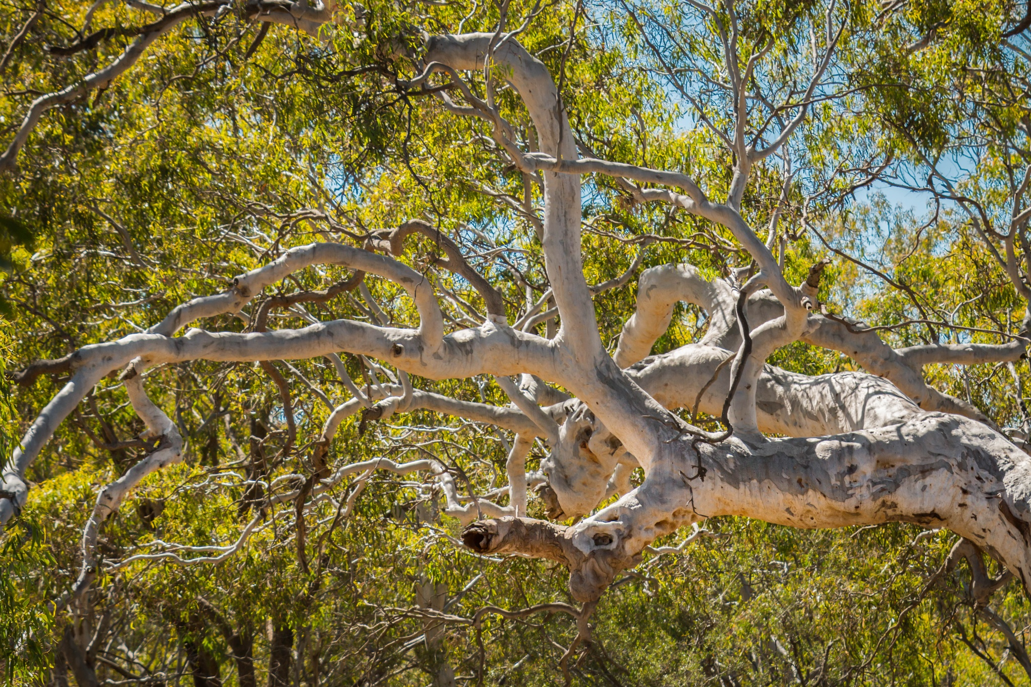 mighty river red gums by tastigr