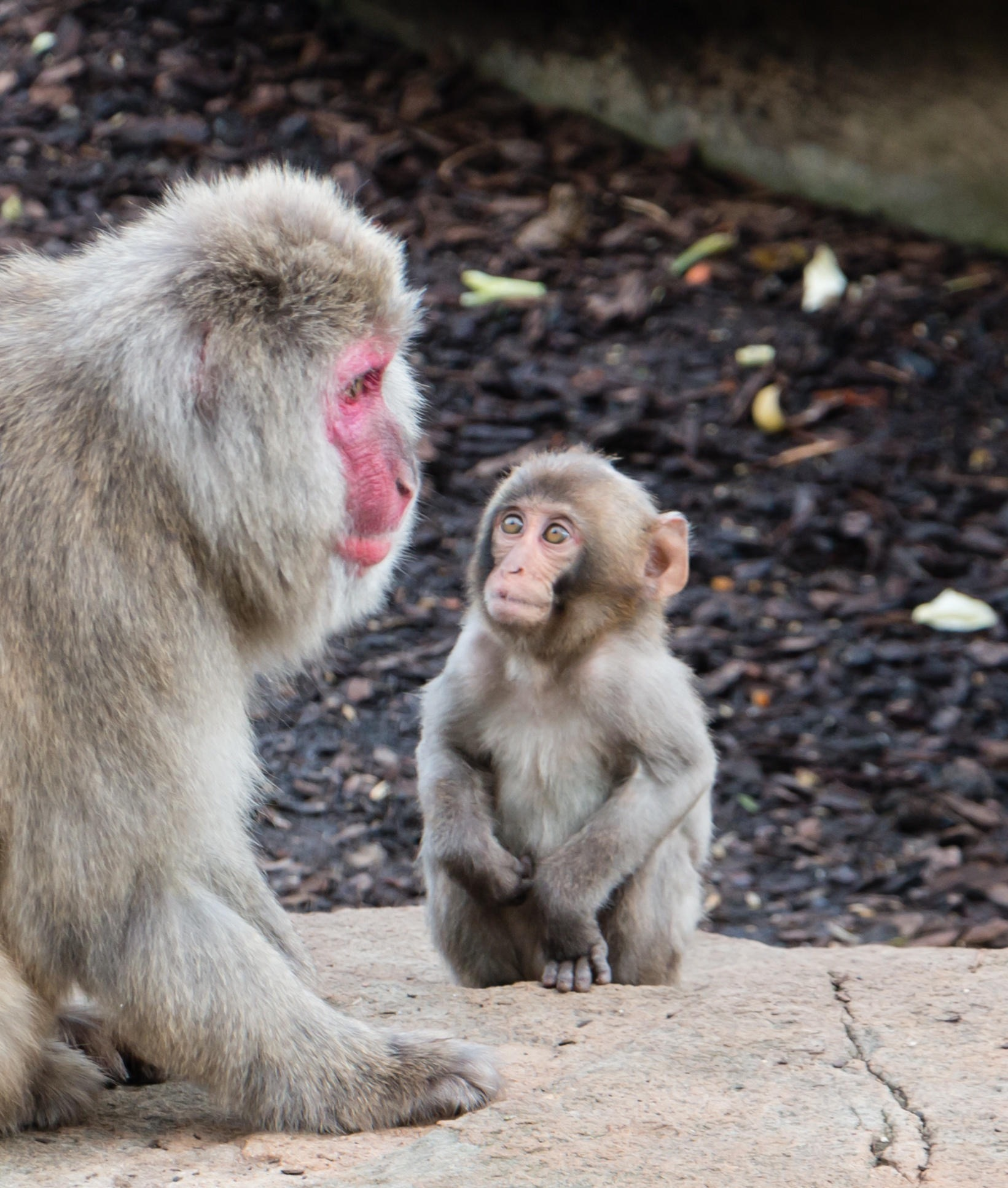 Macaques down under by tastigr
