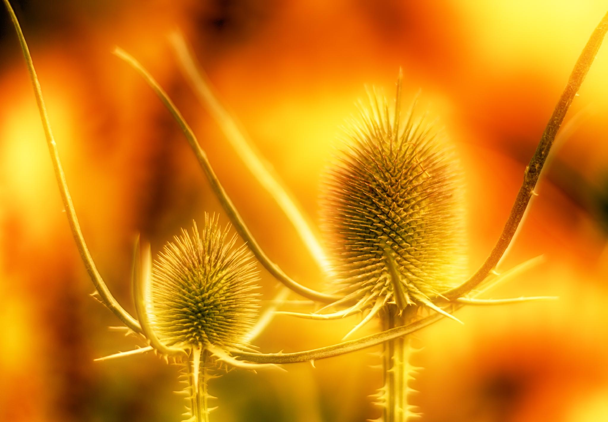 Photo in Nature #plants #spikes #flowers #red #bokeh #golden