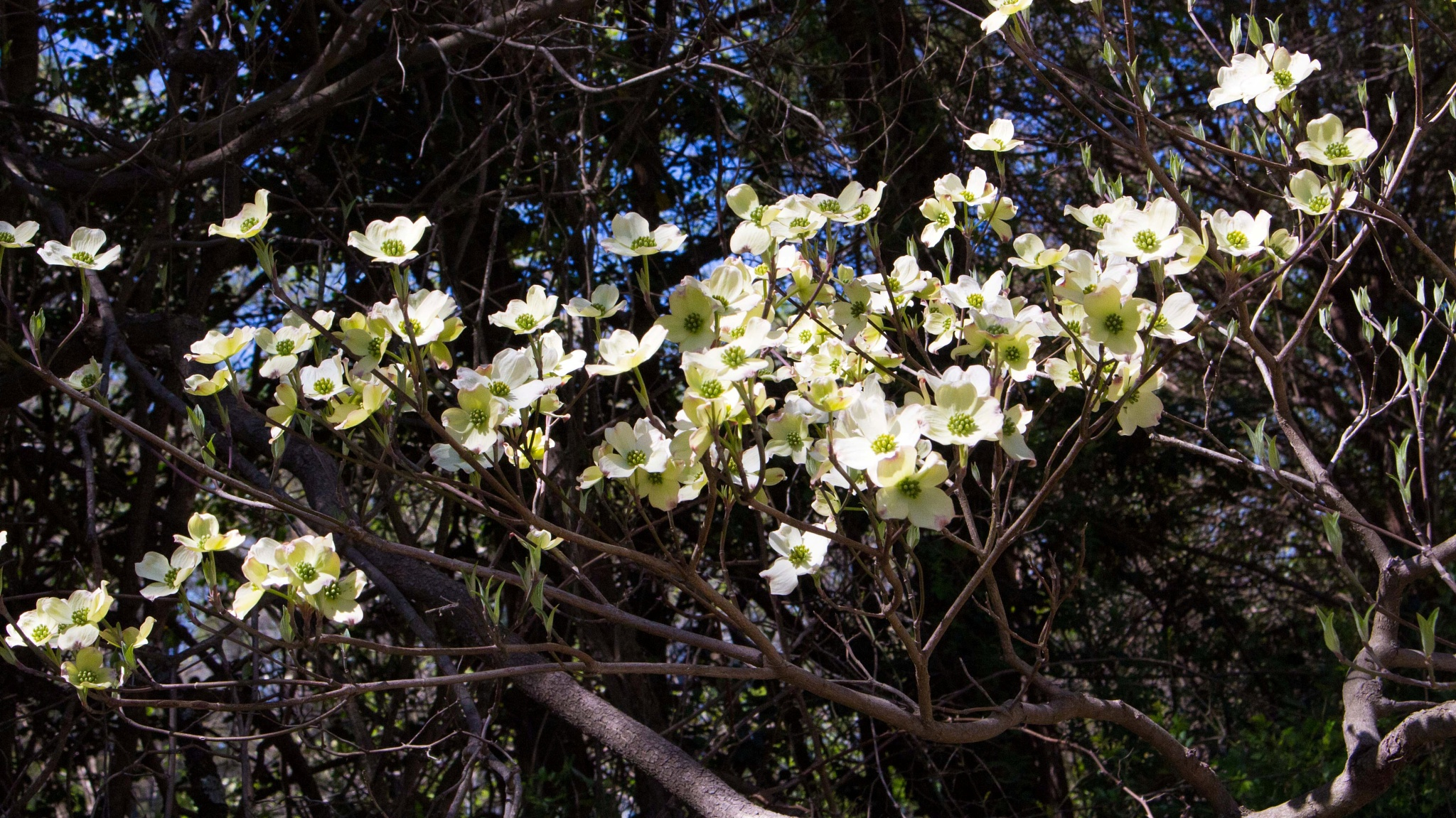 Dogwood blossoms by Mary Carter