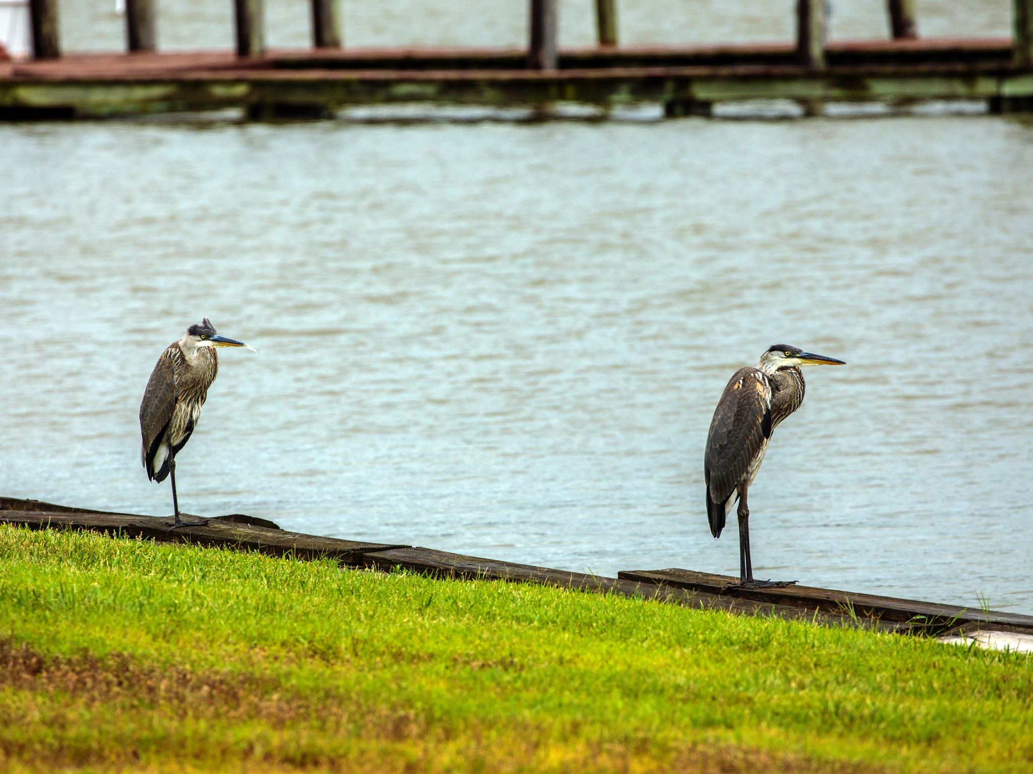 Heron by the Bay by Mary Carter