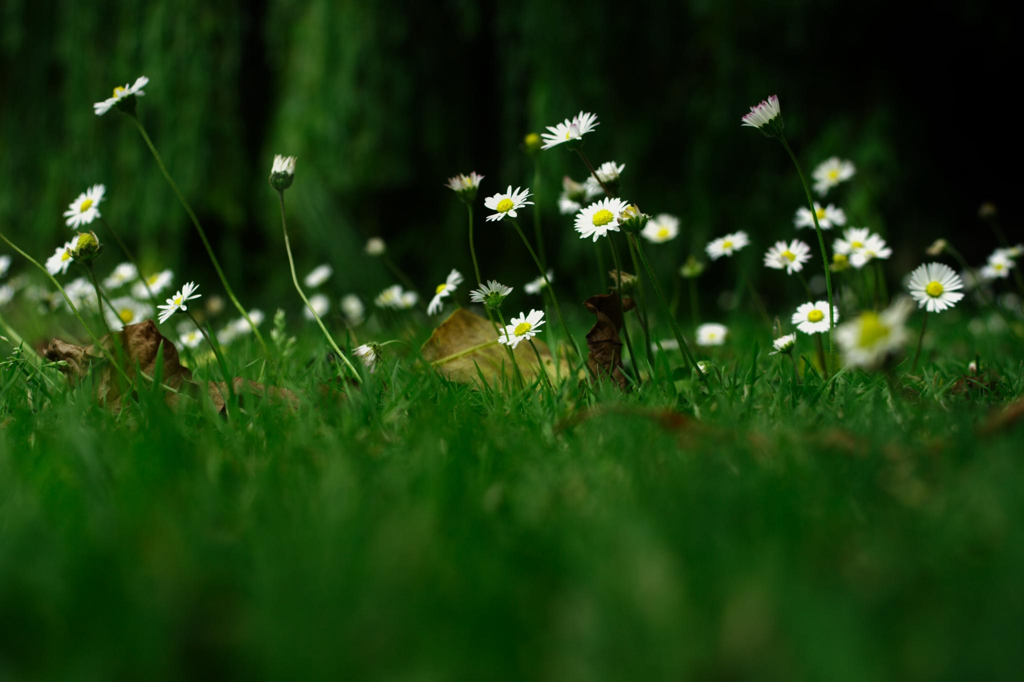 Wall of Daisies by Alex Tan
