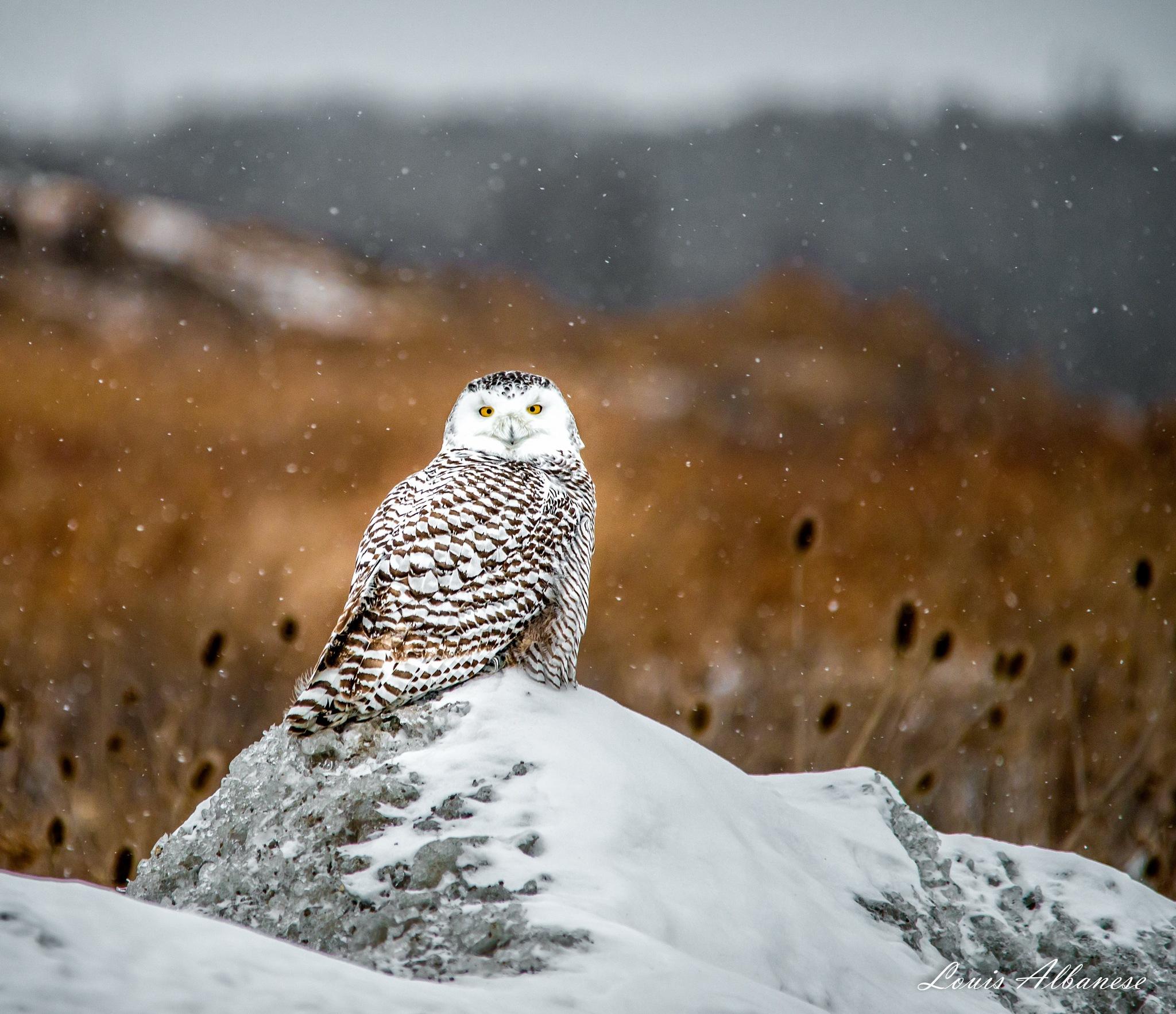 Photo in Nature #owl #snowy owl #female snowy owl #welland #ontario #canada #niagara #winter #raptor