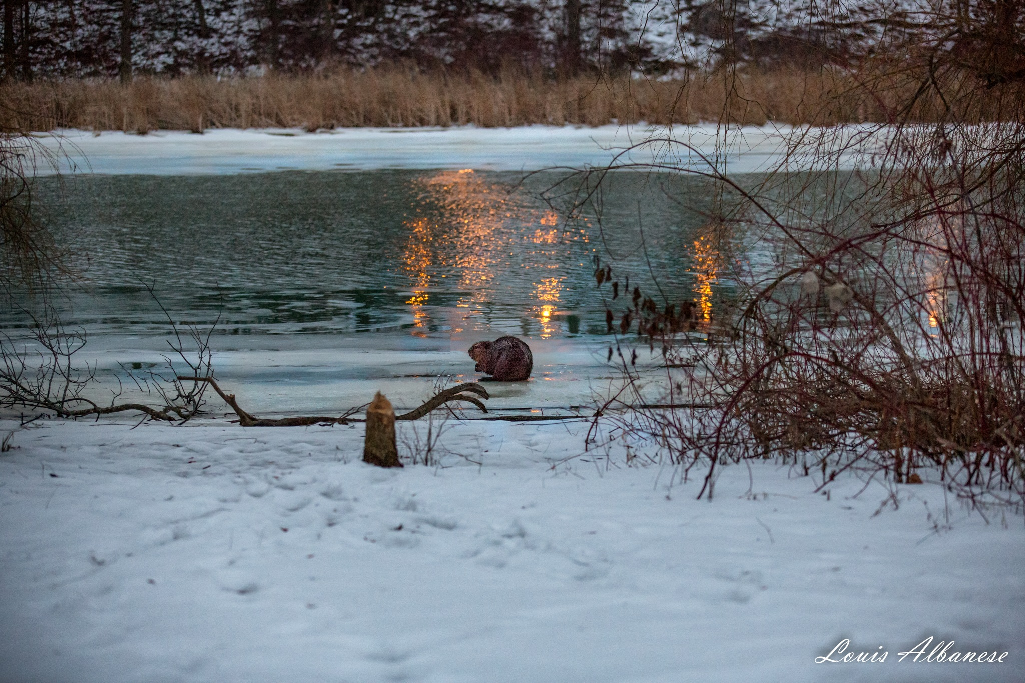 Beaver at Dusk by Louis Albanese