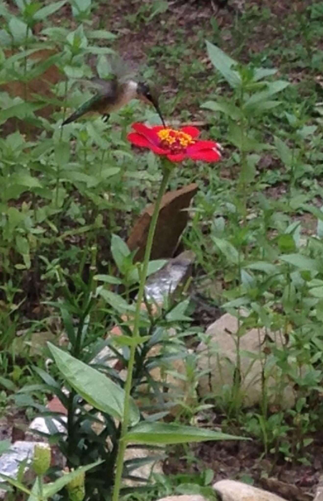 Hummingbird by queenzzyann.jones