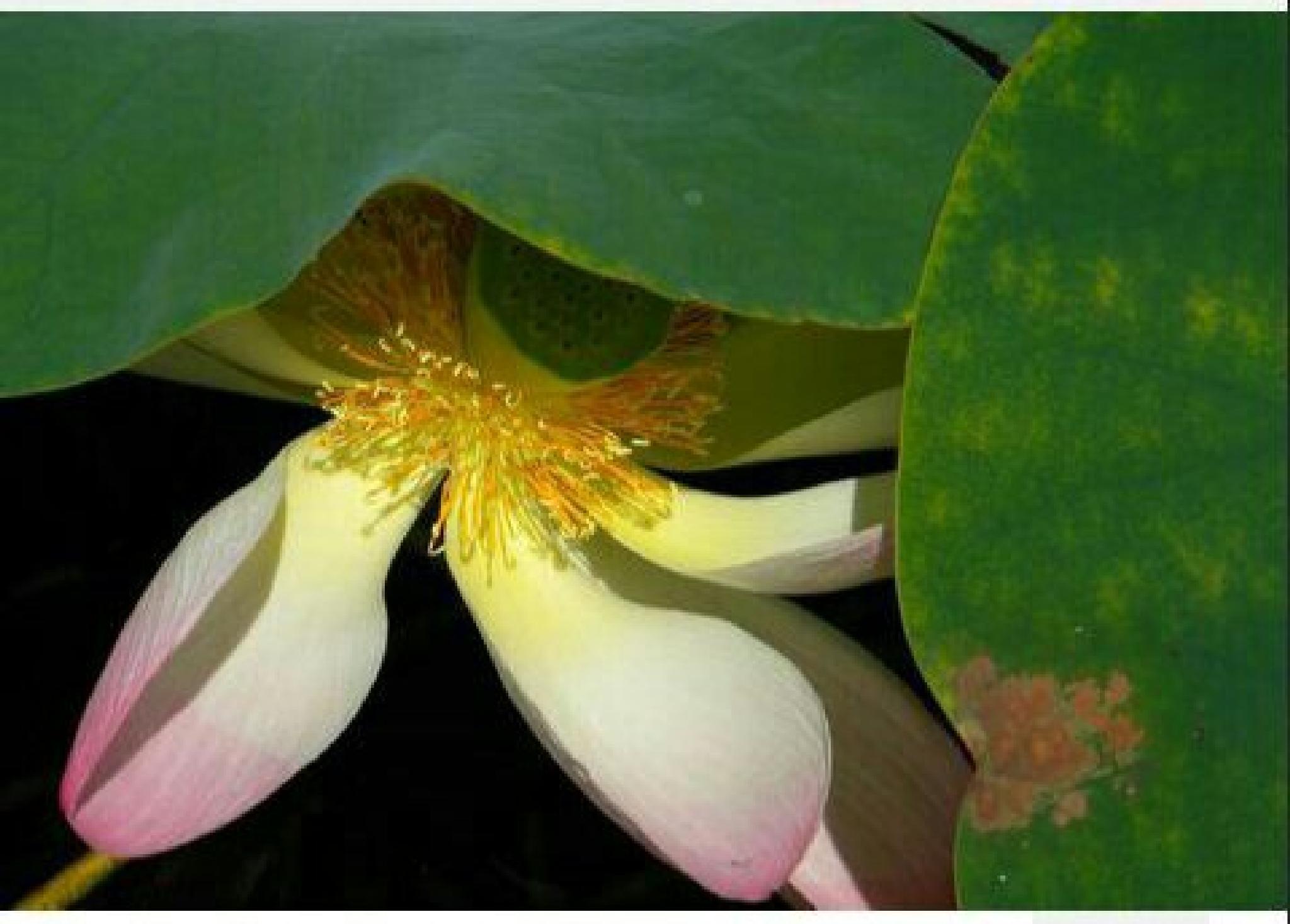 lotus flower by damaris.green.19