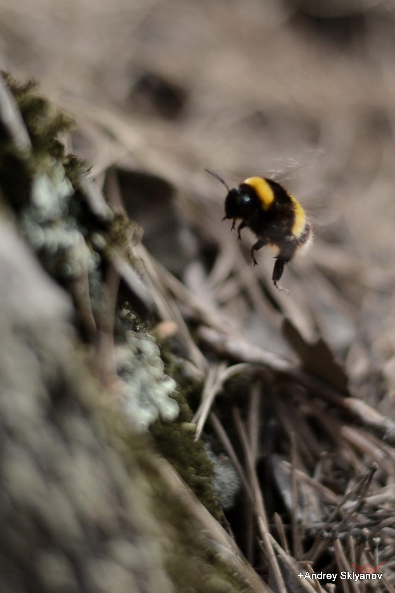 Little bumblebee by Andrey Sklyanov