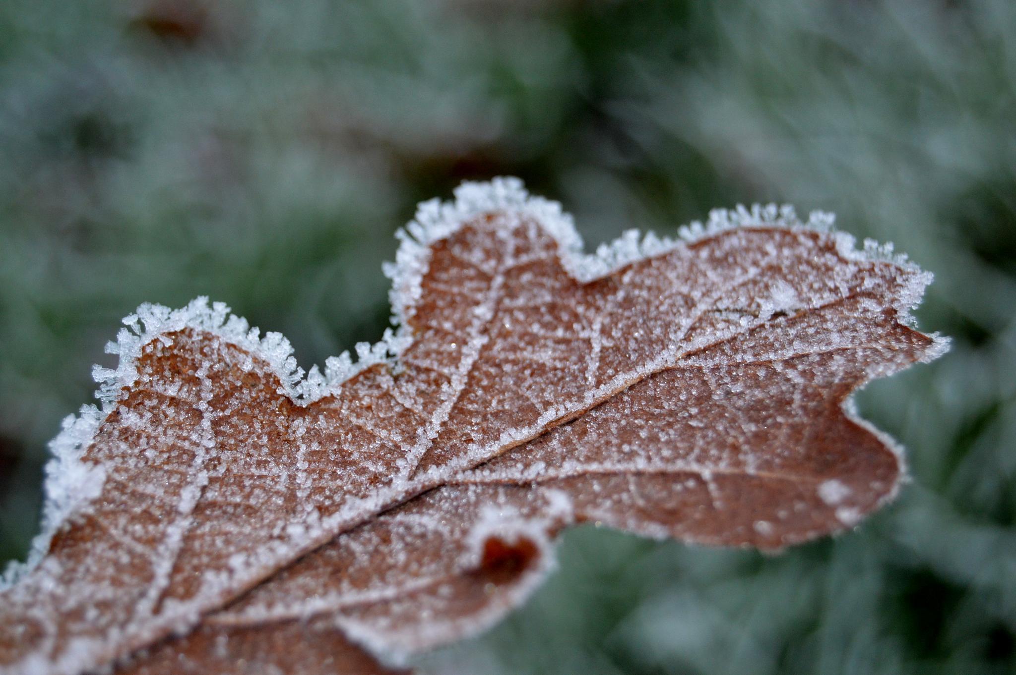 Frosty leaf by Graeme Lewis
