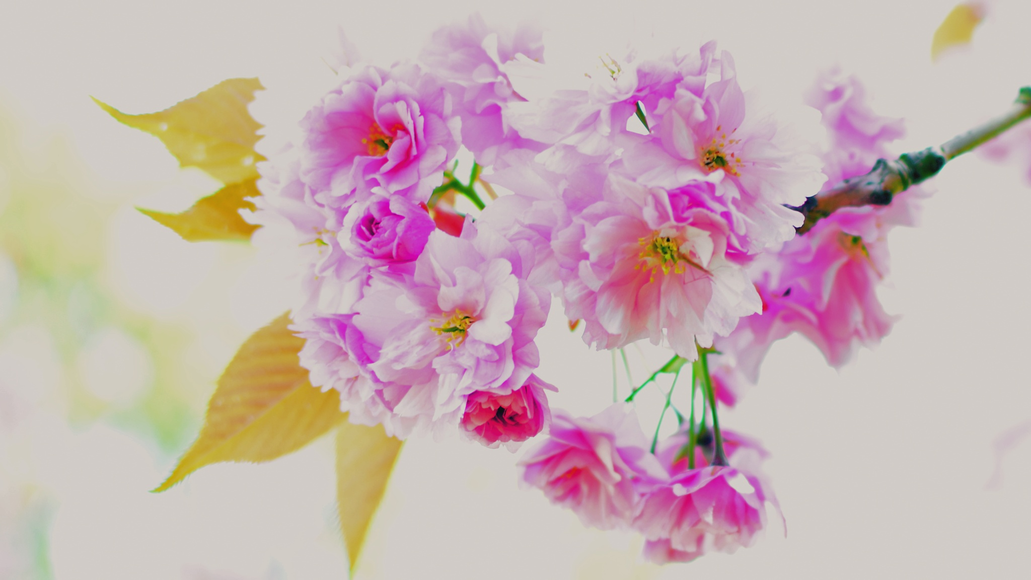 Photo in Abstract #blossom #cherry blossom #tree #pink #petals #leaves #pastel #spring #garden #jardin
