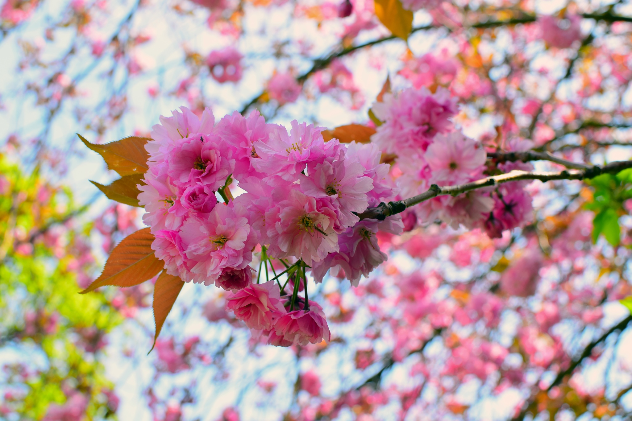 Photo in Nature #cherry blossoms #tree #petals #leaves #pink