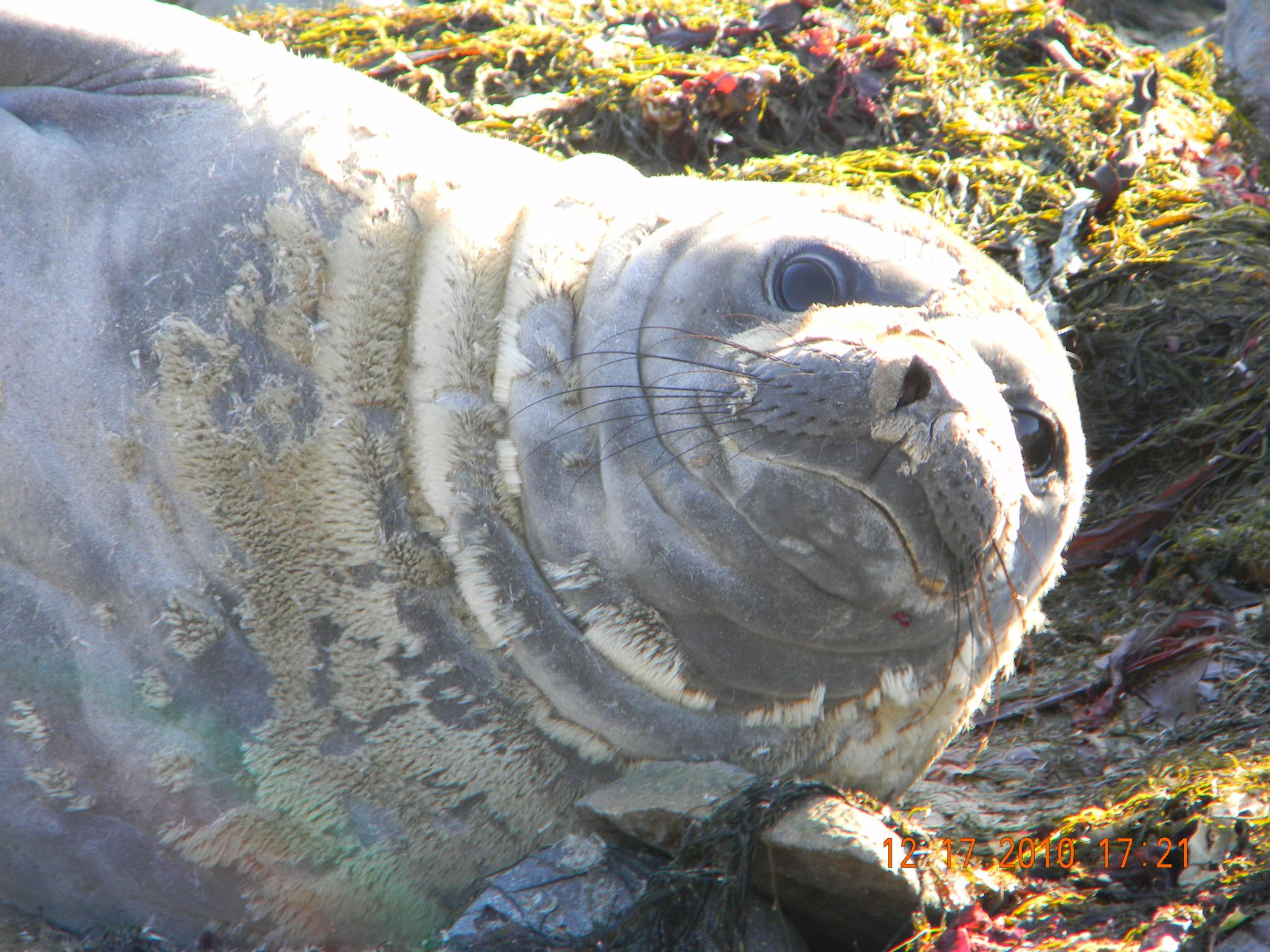 Southern Elephant Seal cow by doc.irene