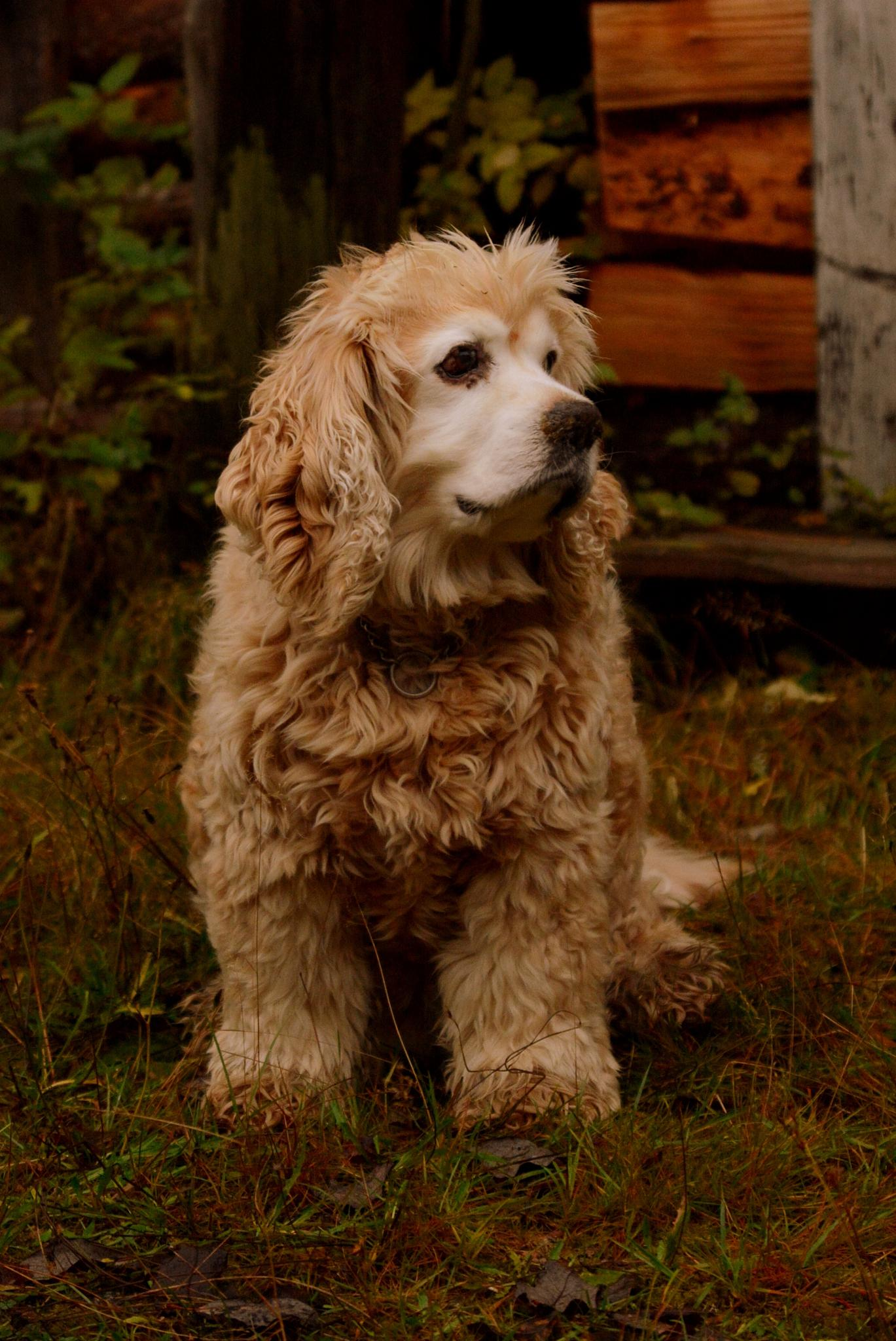 The bautiful old boy Milou! by Victoria Gustavsson