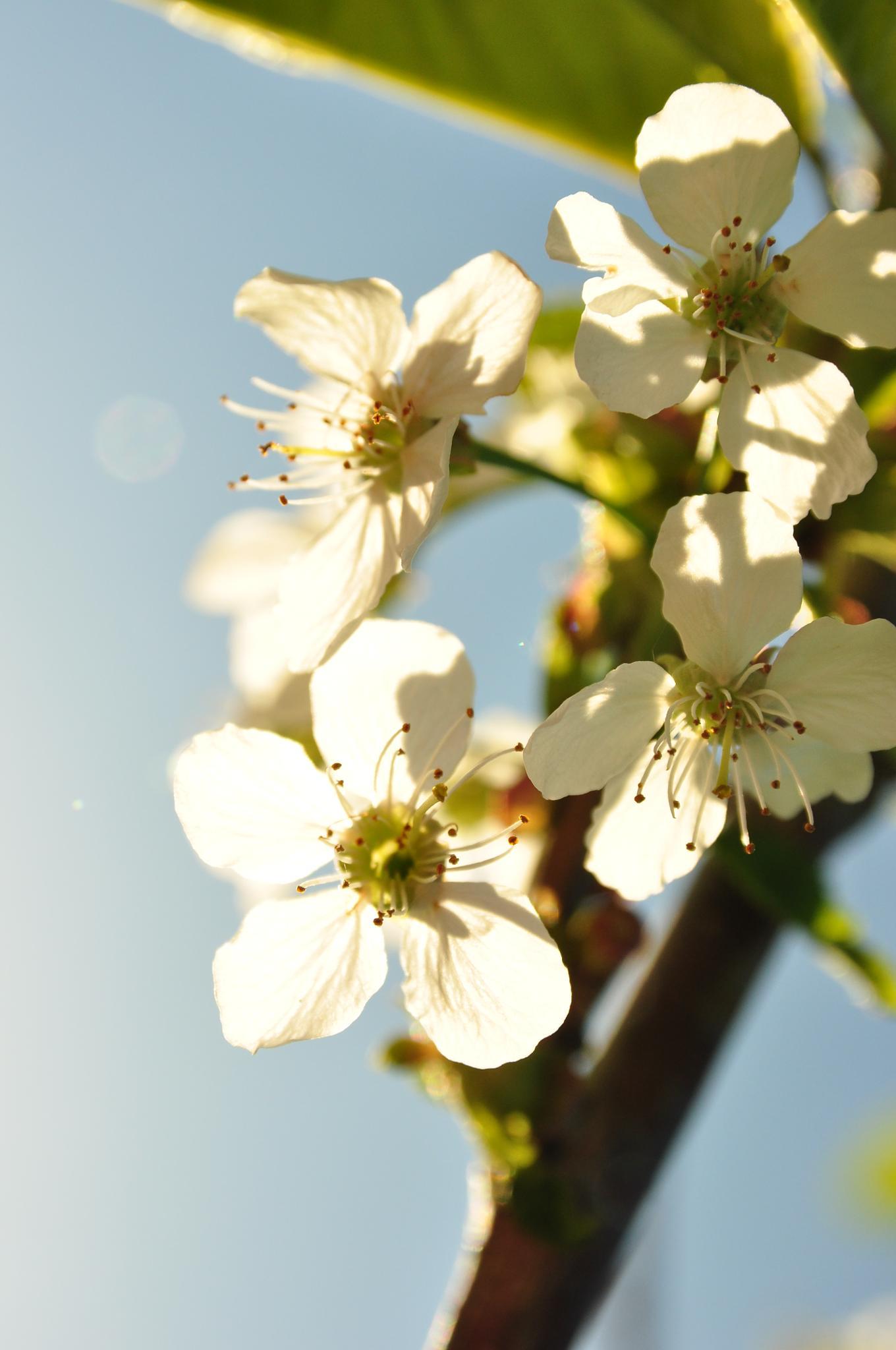 Cherry Blossom by Victoria Gustavsson