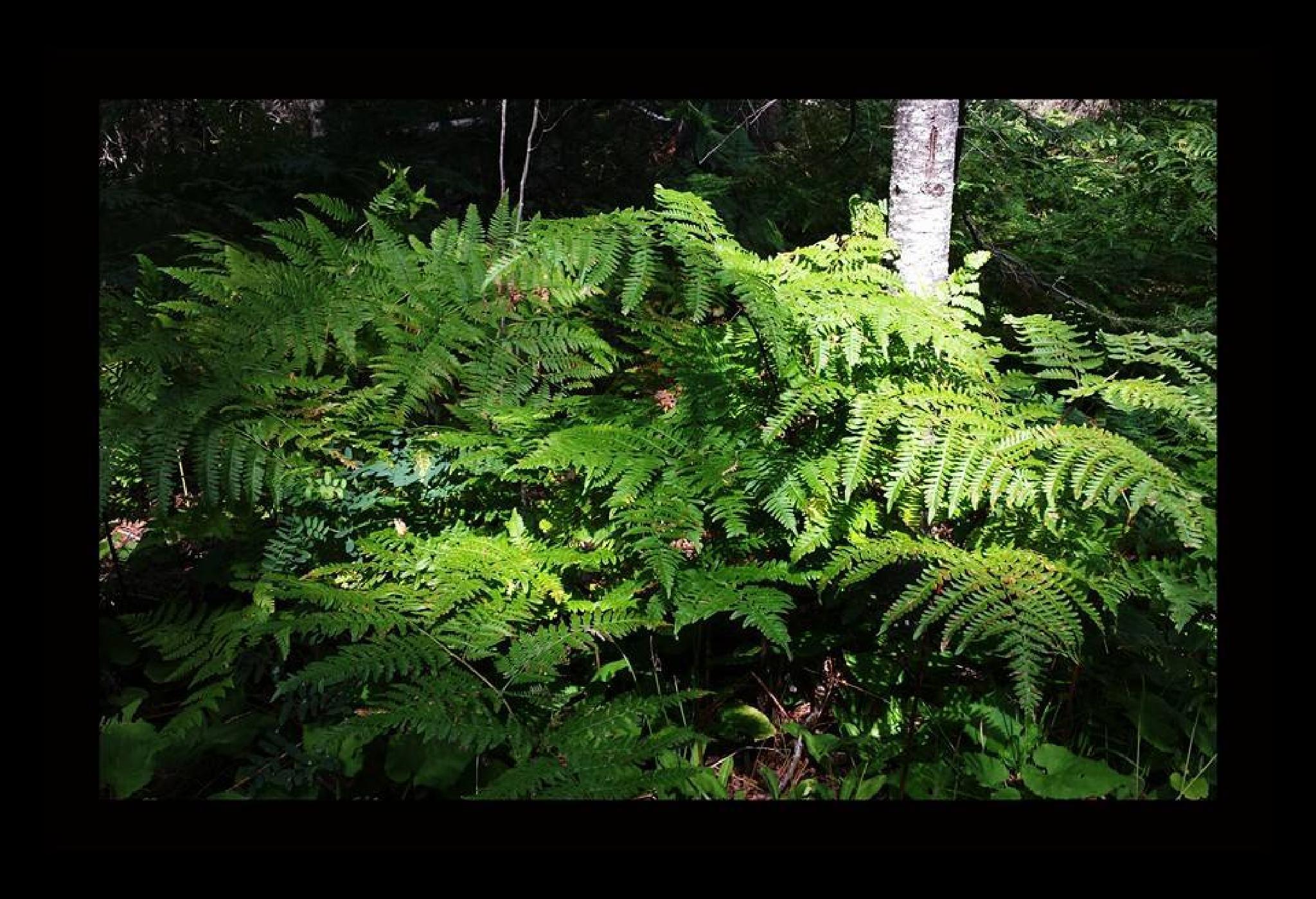Forest Ferns Keweenaw Peninsula by mimi.difrancesca