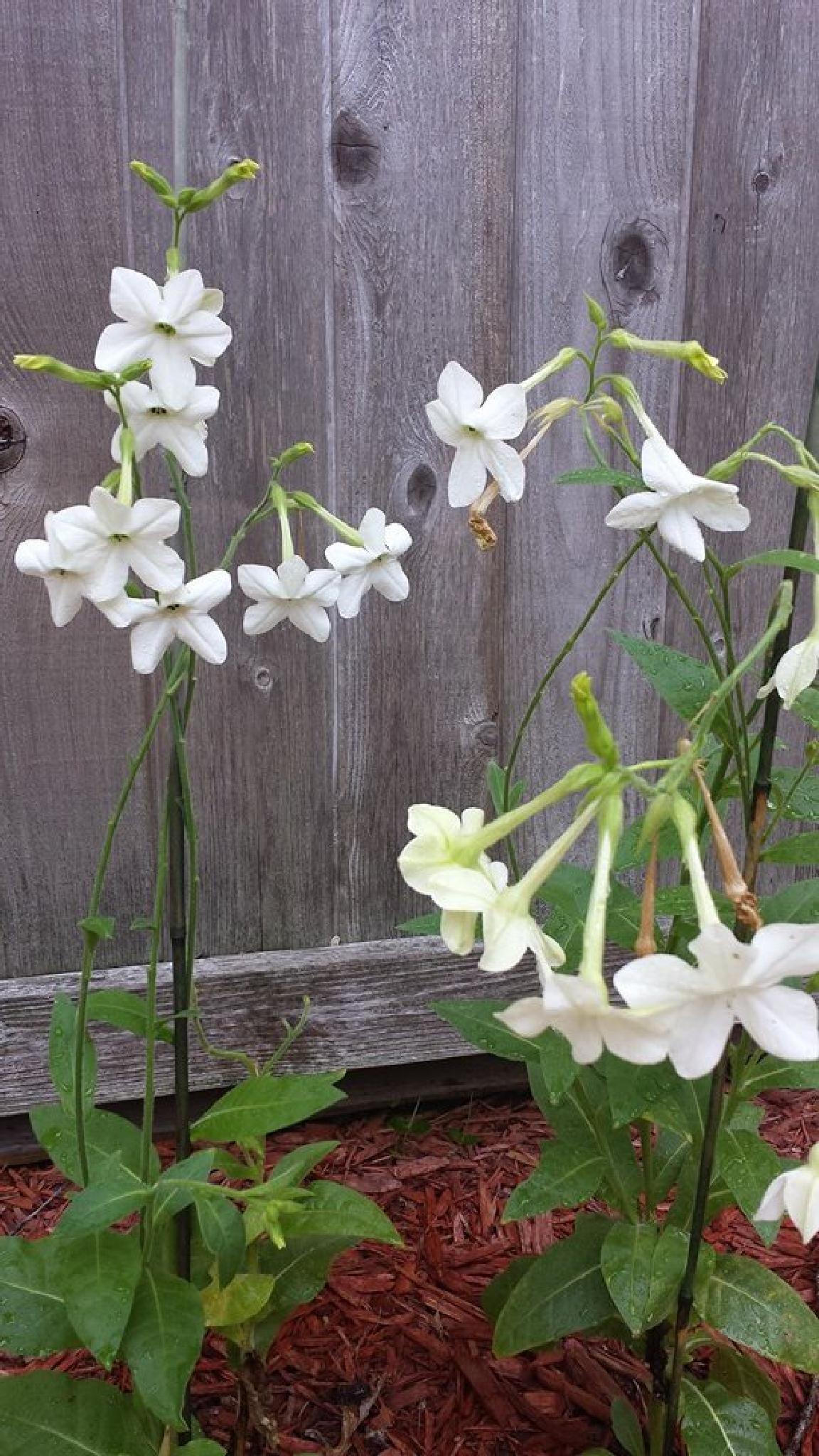 White Blooms Nicotiana Alata by mimi.difrancesca