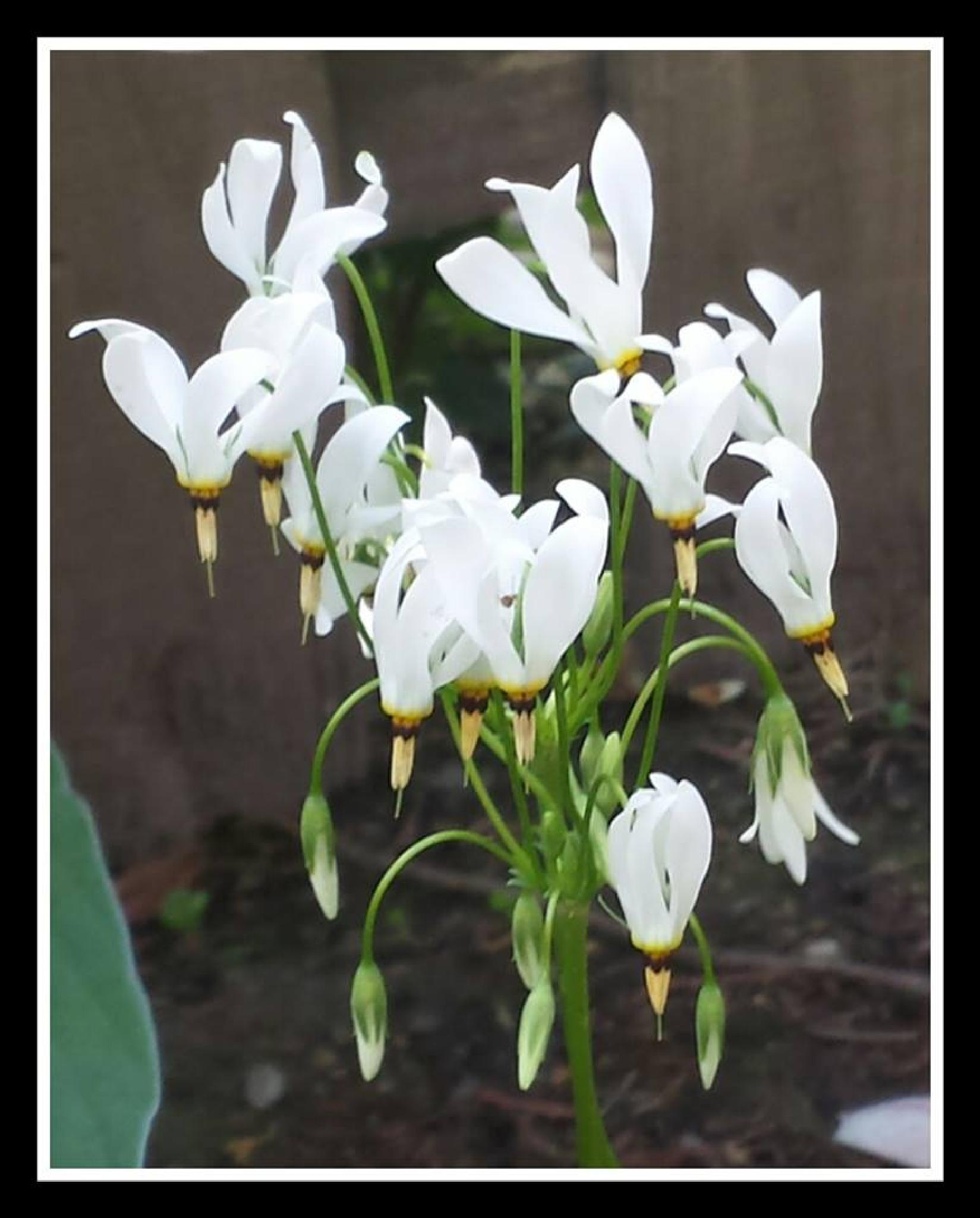 White Blooms Shooting Stars by mimi.difrancesca