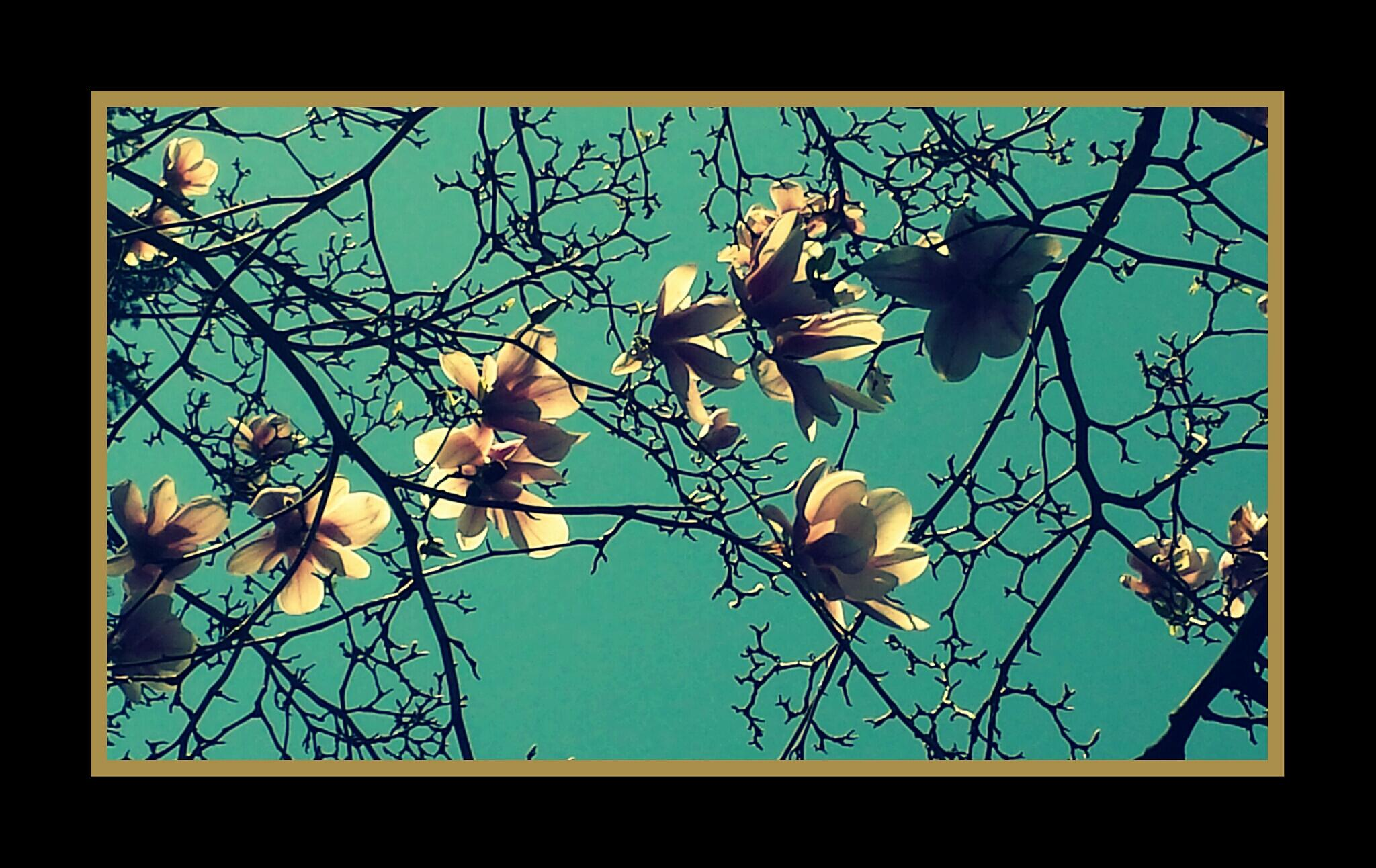 The Old Magnolia by mimi.difrancesca
