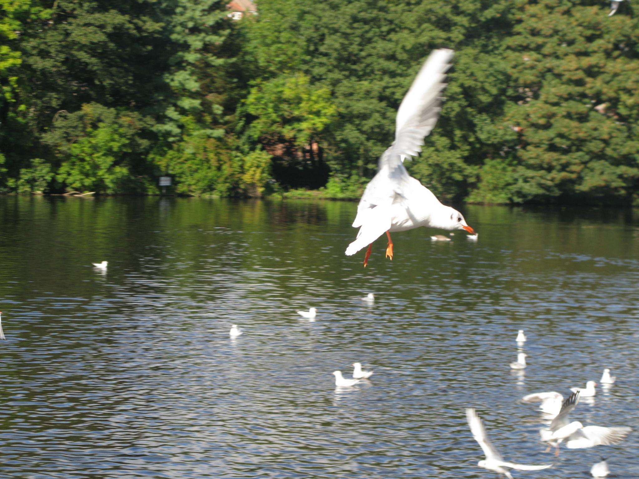 Seagull Flying by KSurelia