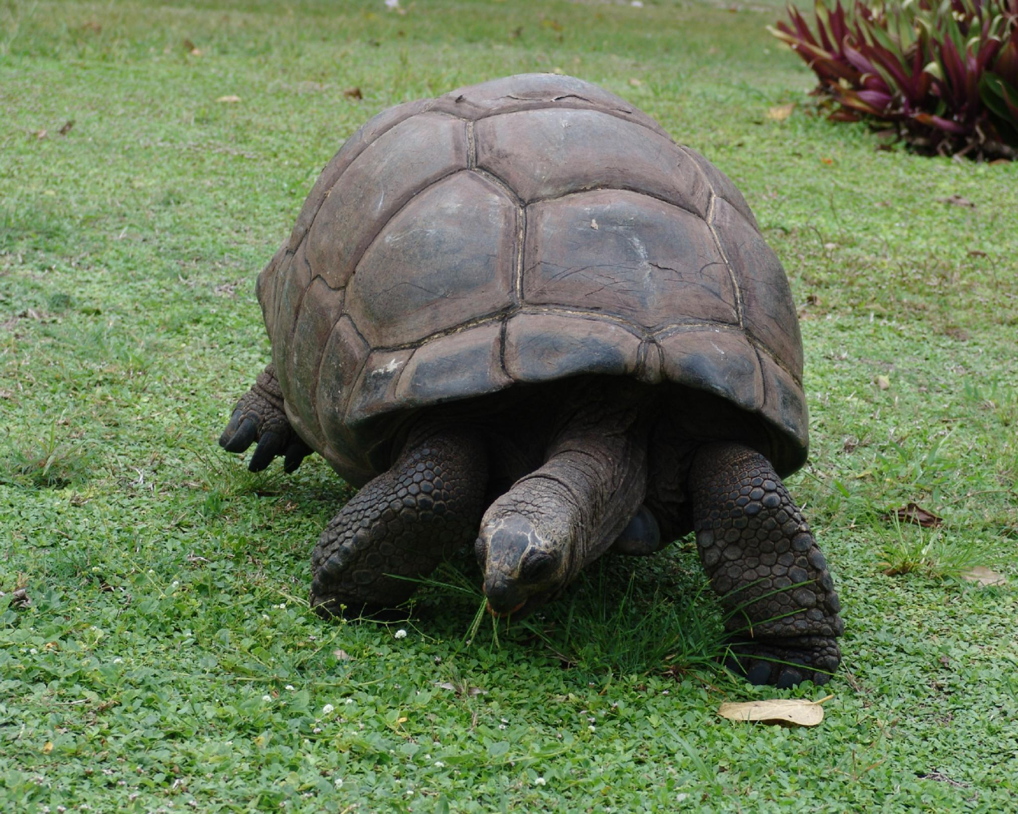 Giant Tortoise on Desroches by Bogfrog