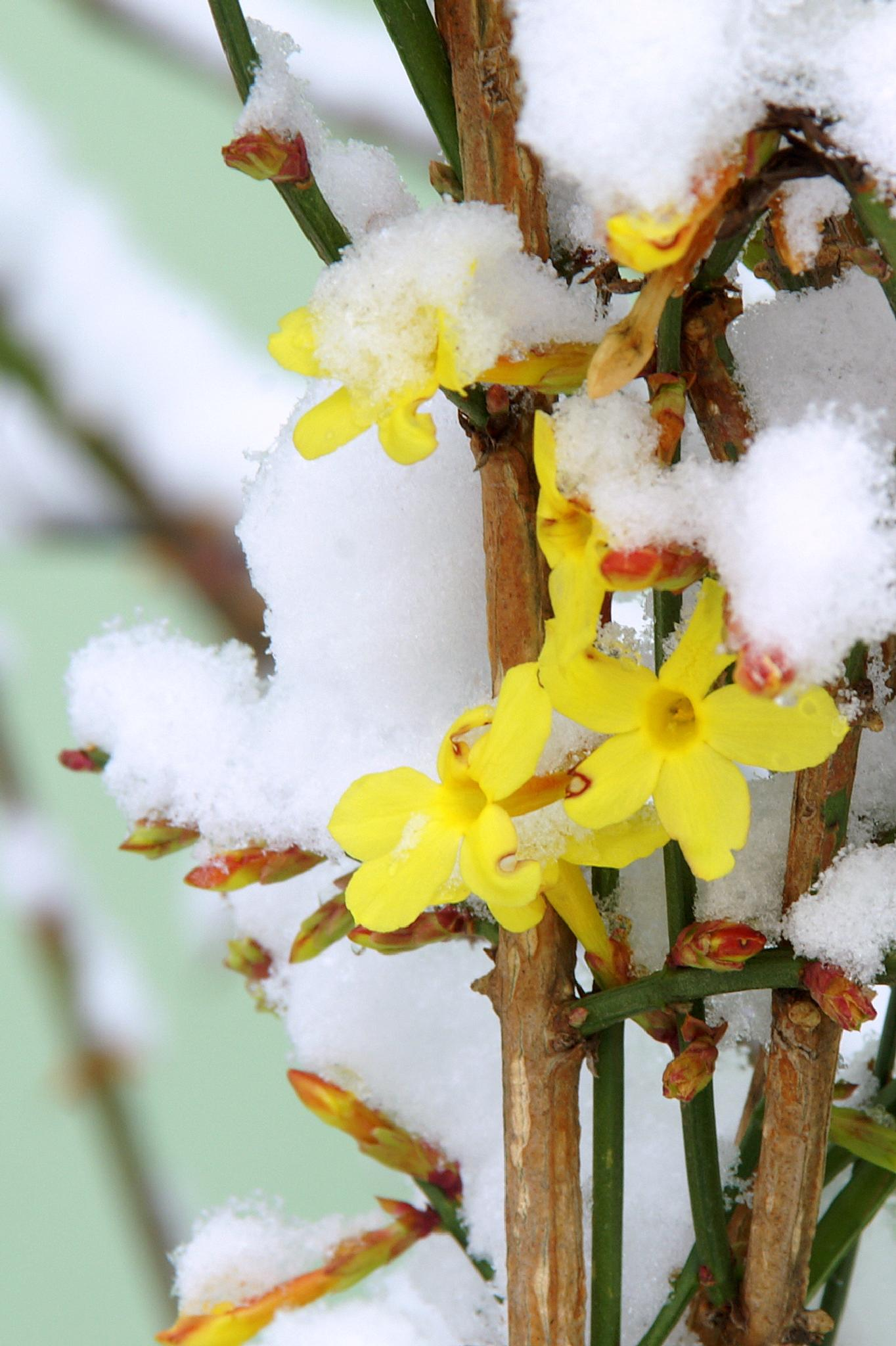 flowers and snow by rosici.miroslav