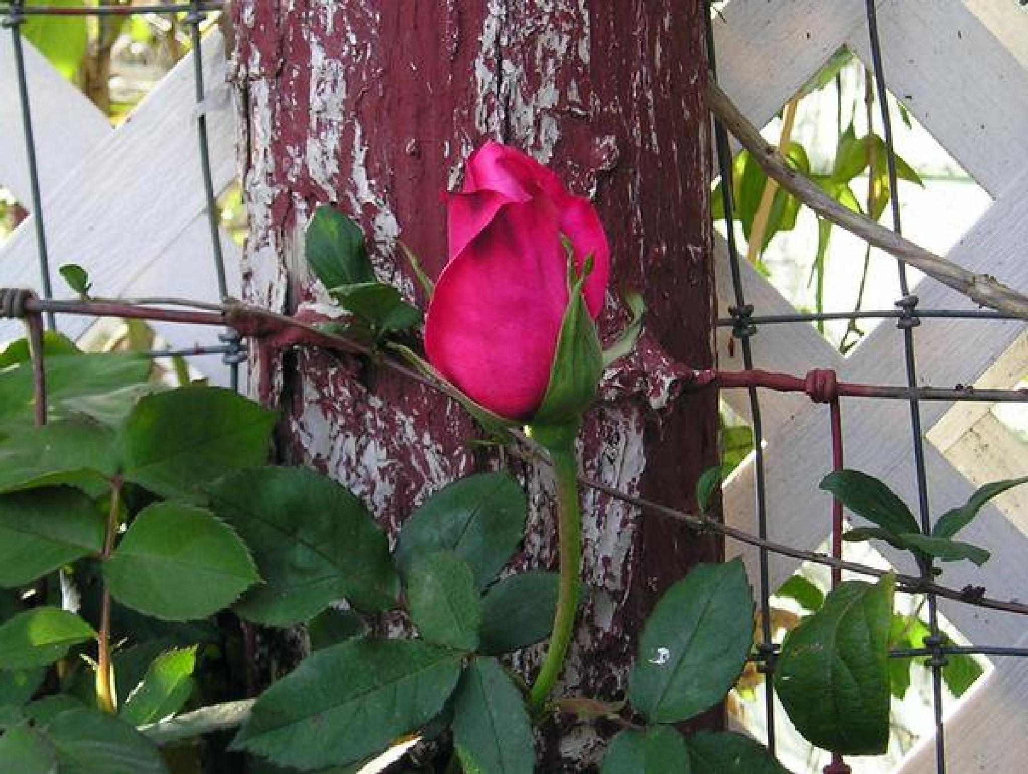 Pink Rose by ronnie.lohi