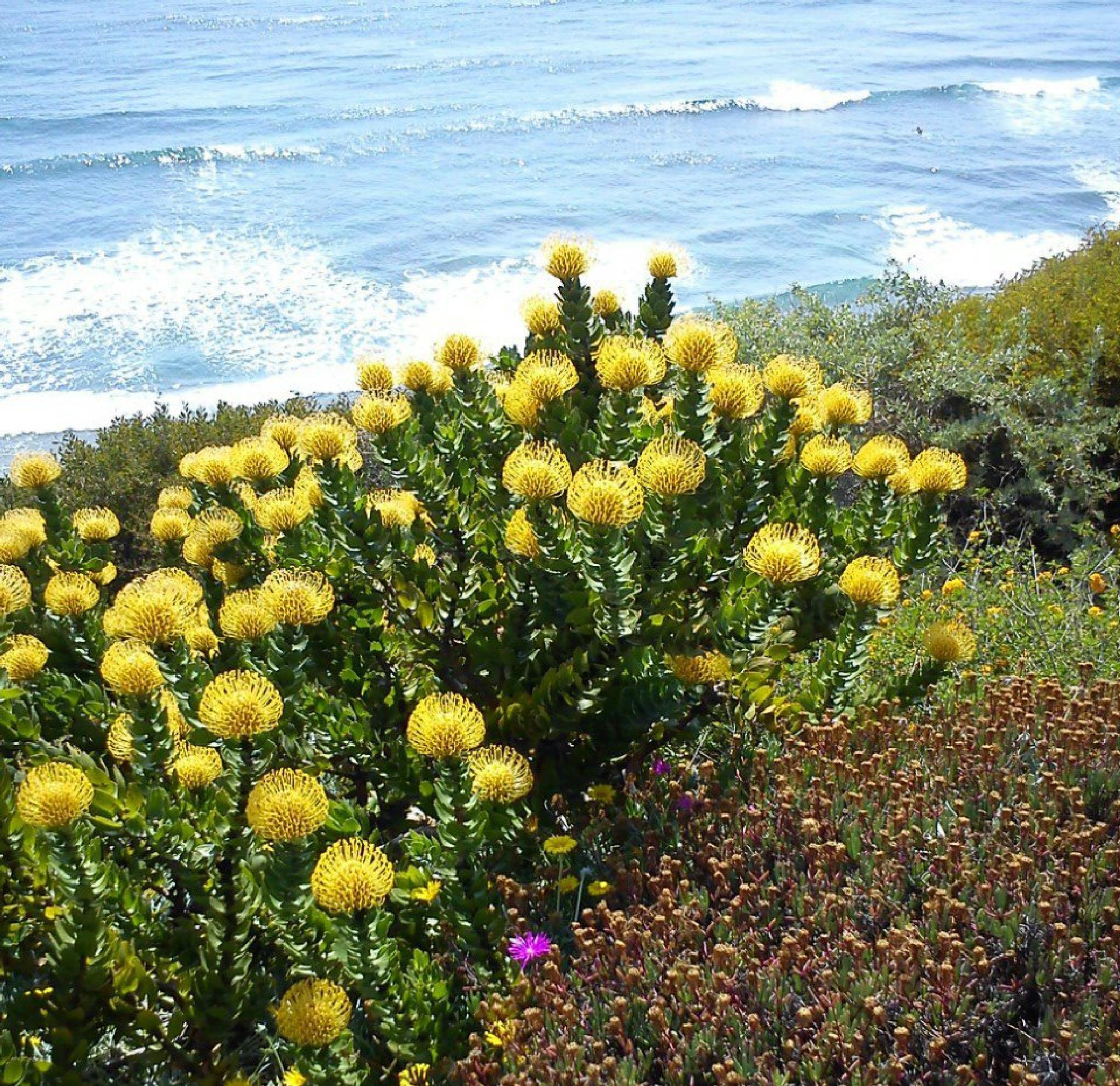Yellow blooms Ocean by jane.guy.moore