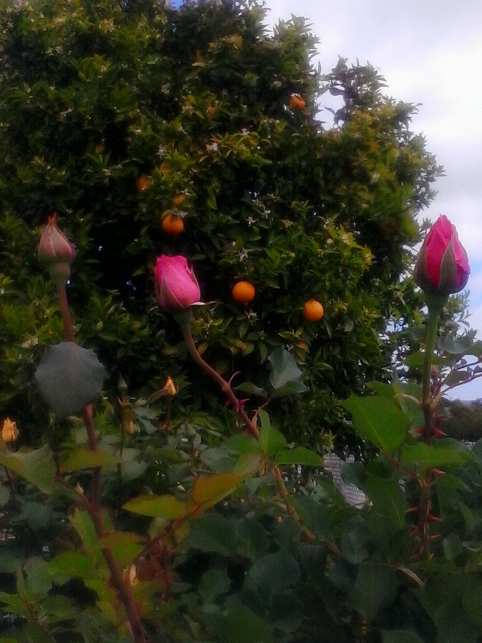 Pink garden roses by jane.guy.moore