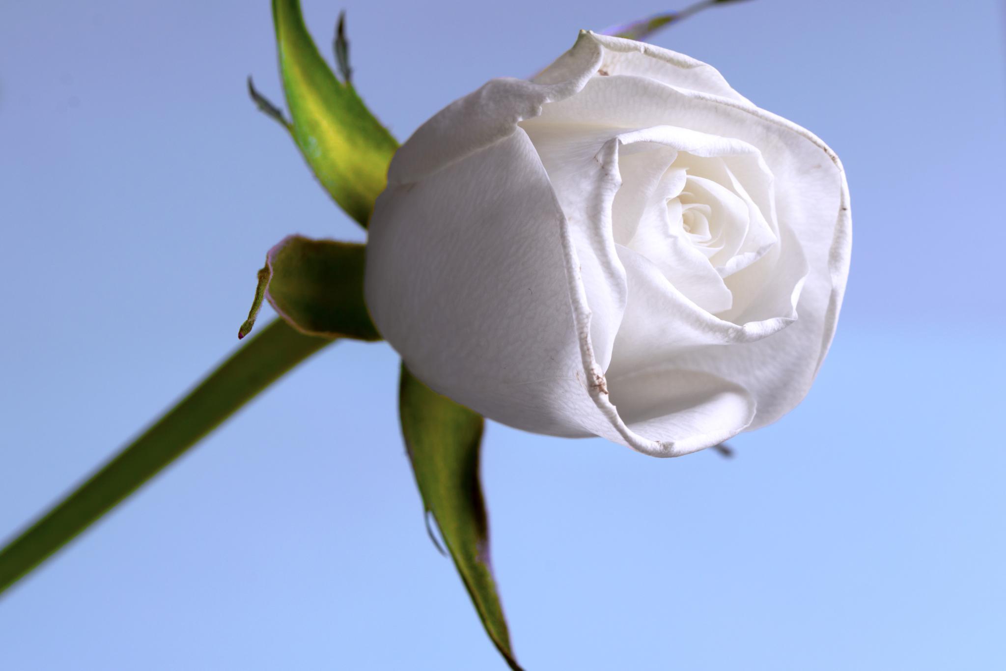 White Rose by alan.dawson.10