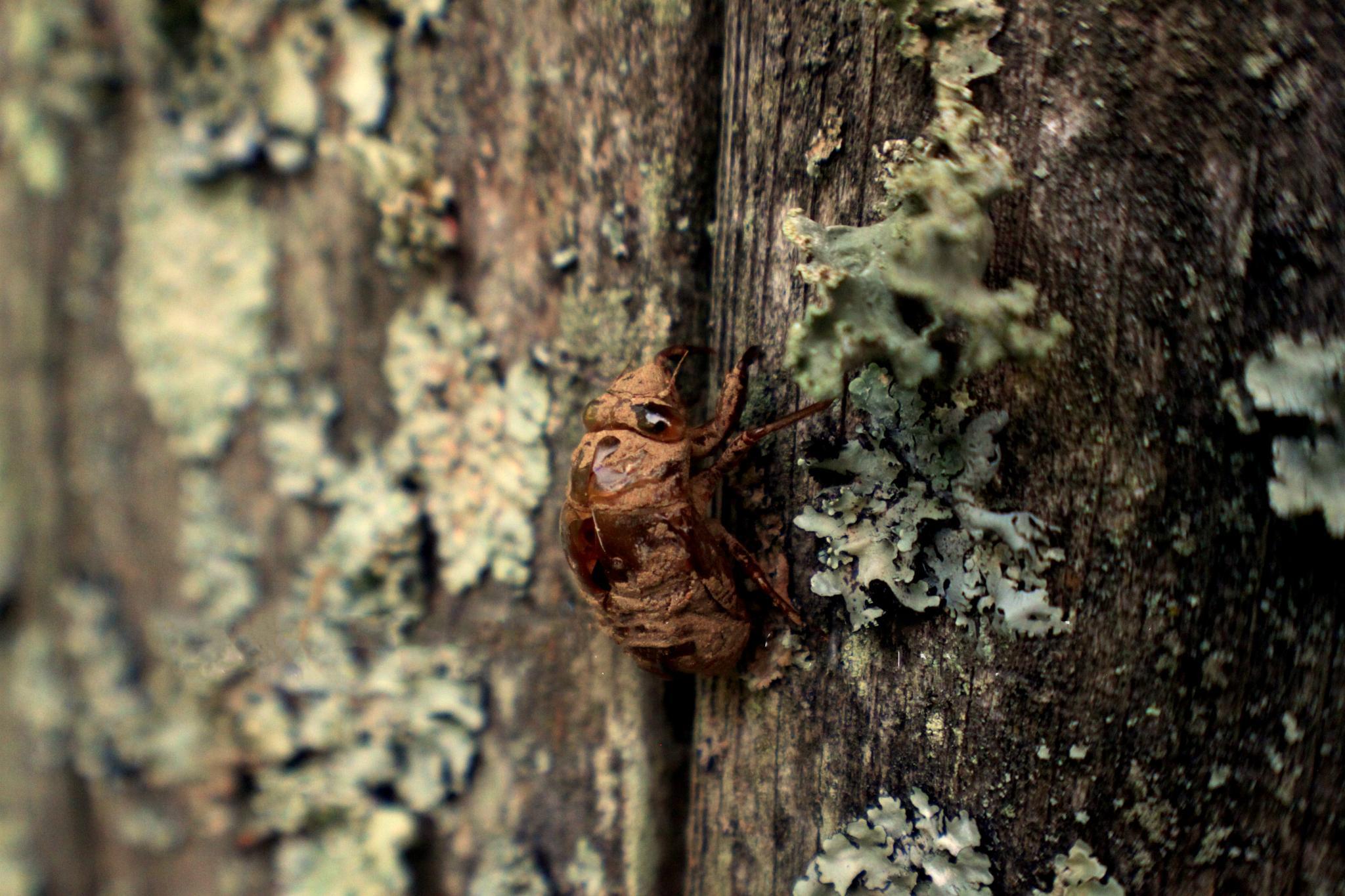 cicada by Lovelle