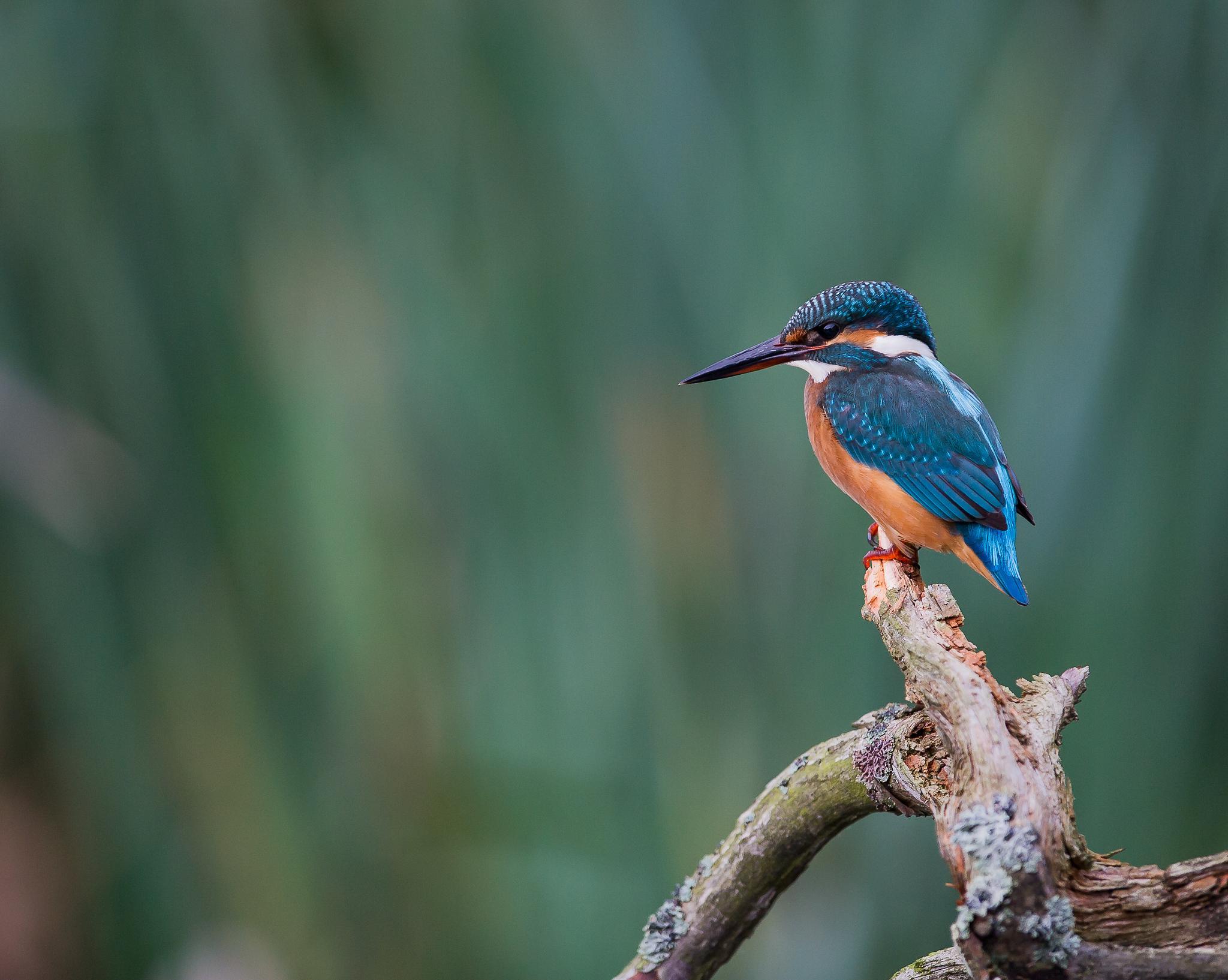 The Kingfisher. by Strixphoto ( Anders Grönlund)