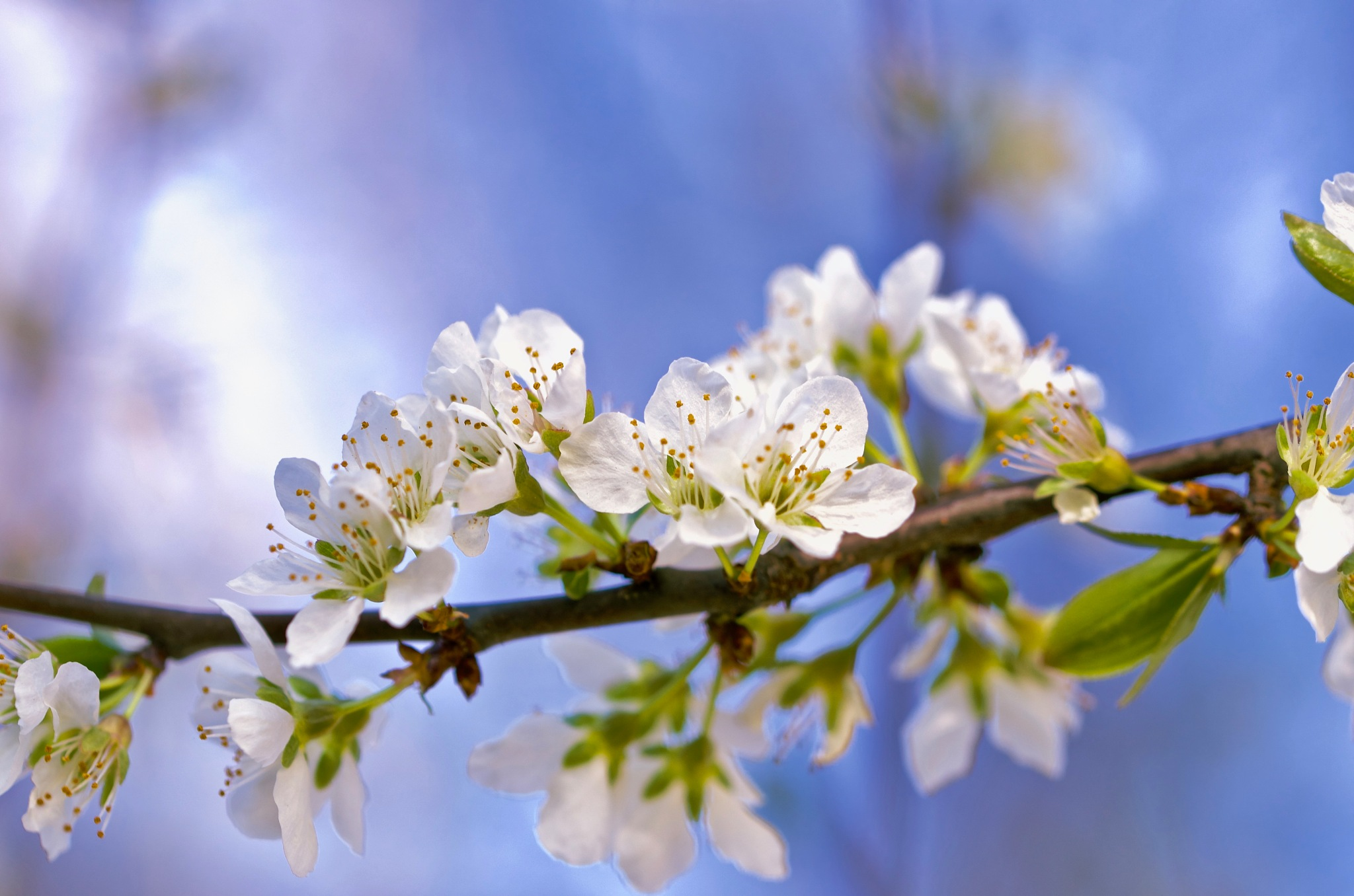 Plum blossoms by pam.simonsson