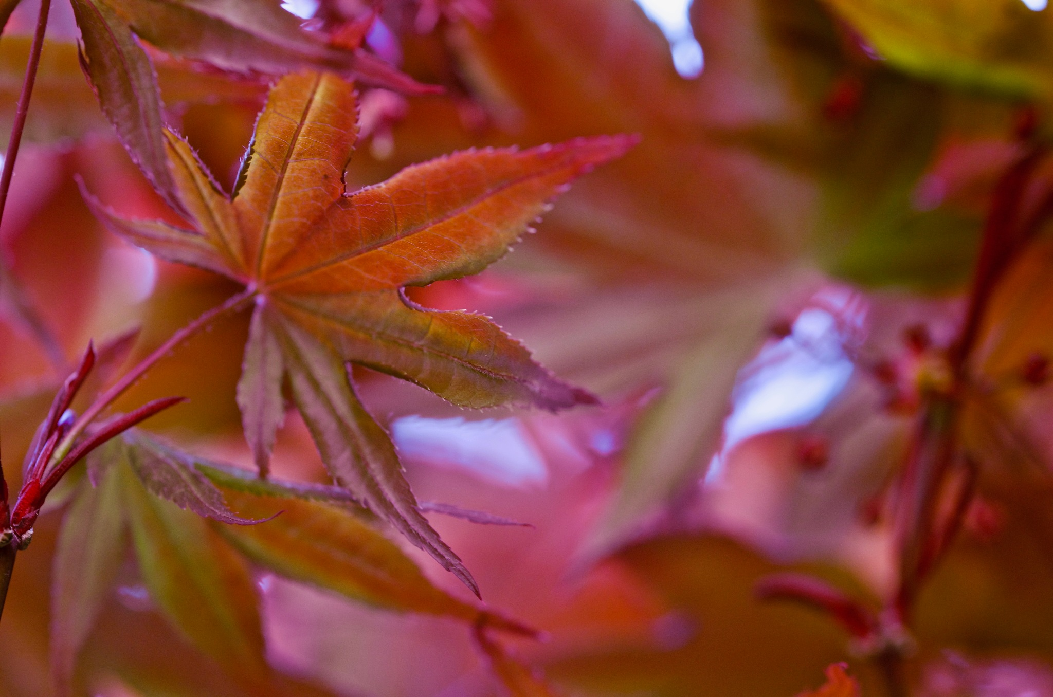 Japanese Maple leaf spring colors by pam.simonsson