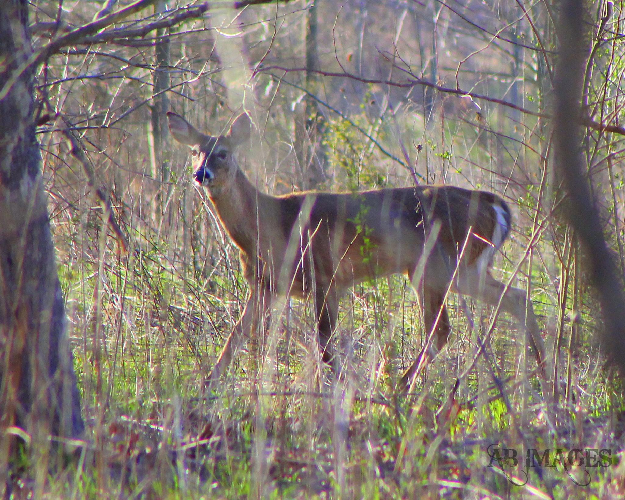 White Tailed Deer by GypsyRose