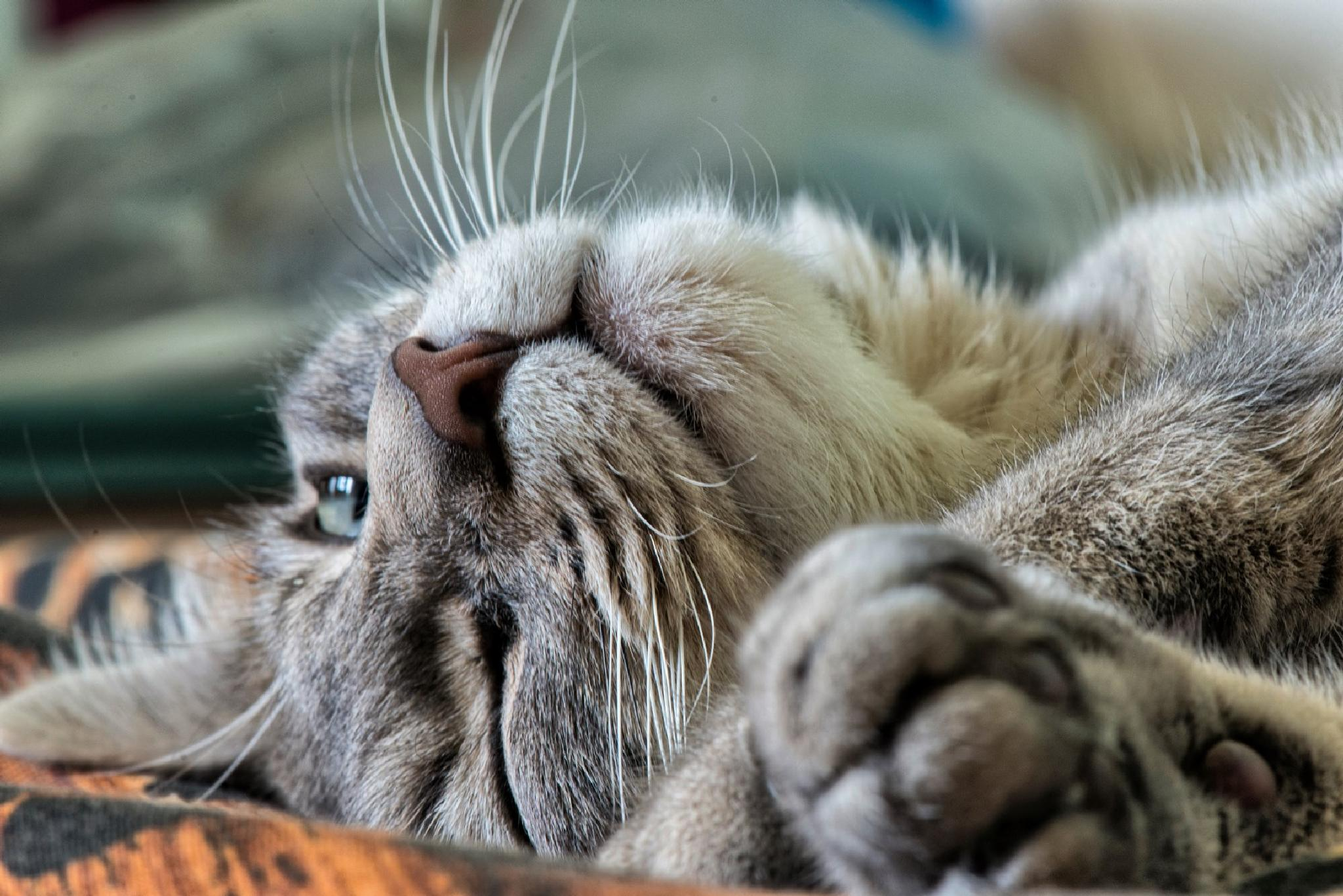 Simba the cat by dariosperone