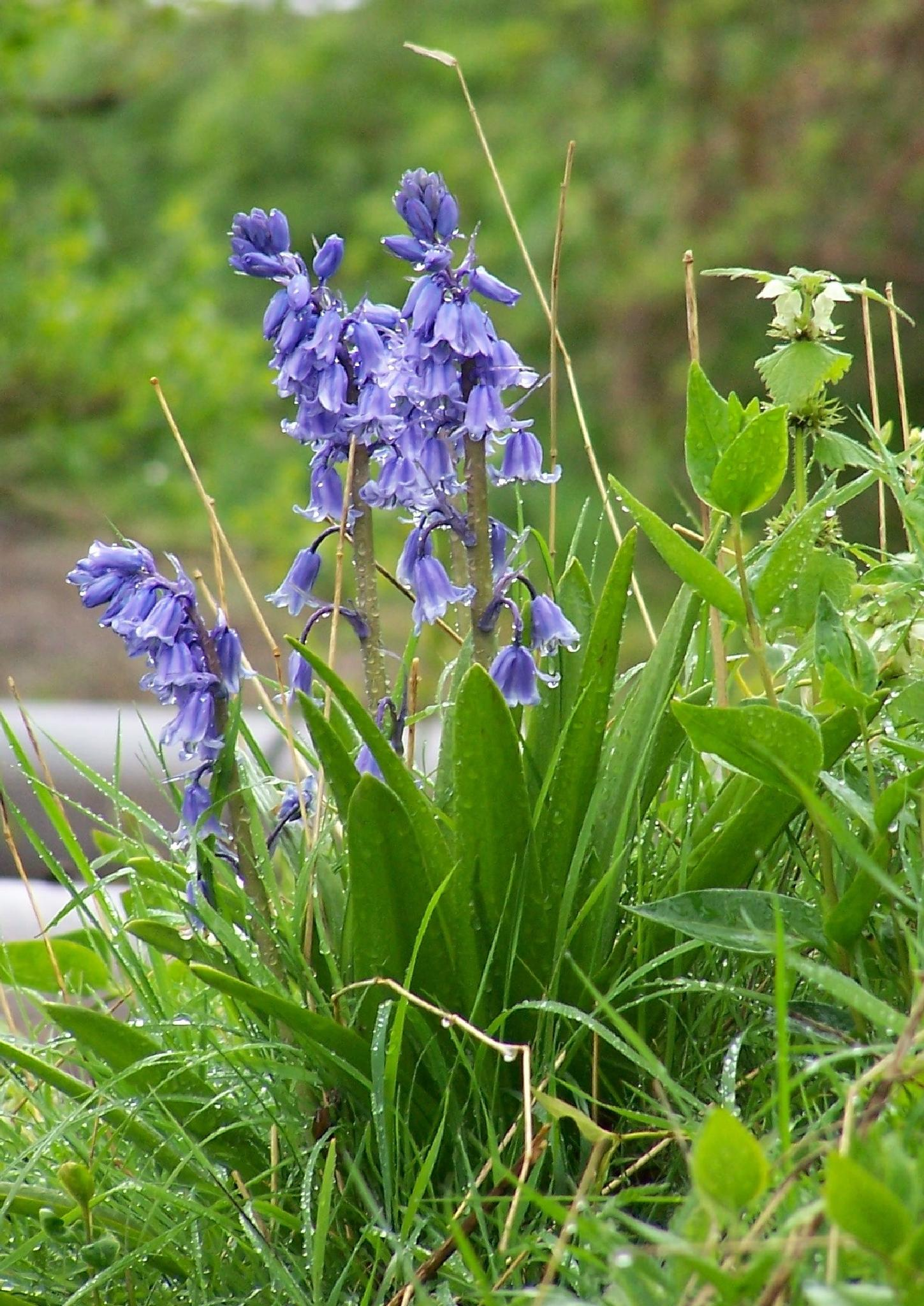 bluebells by HLW