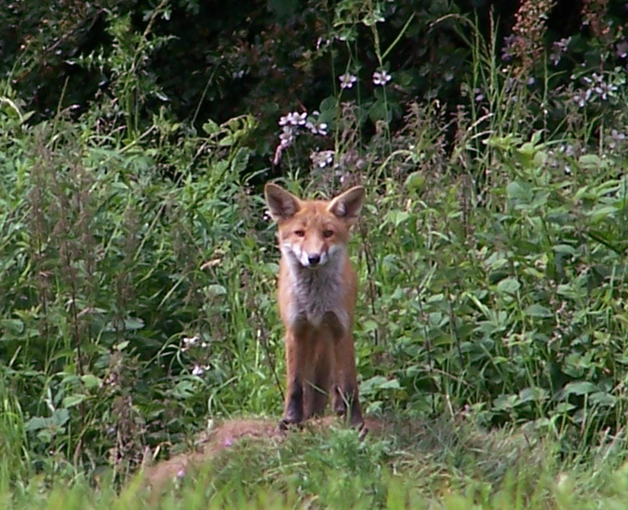young fox by HLW