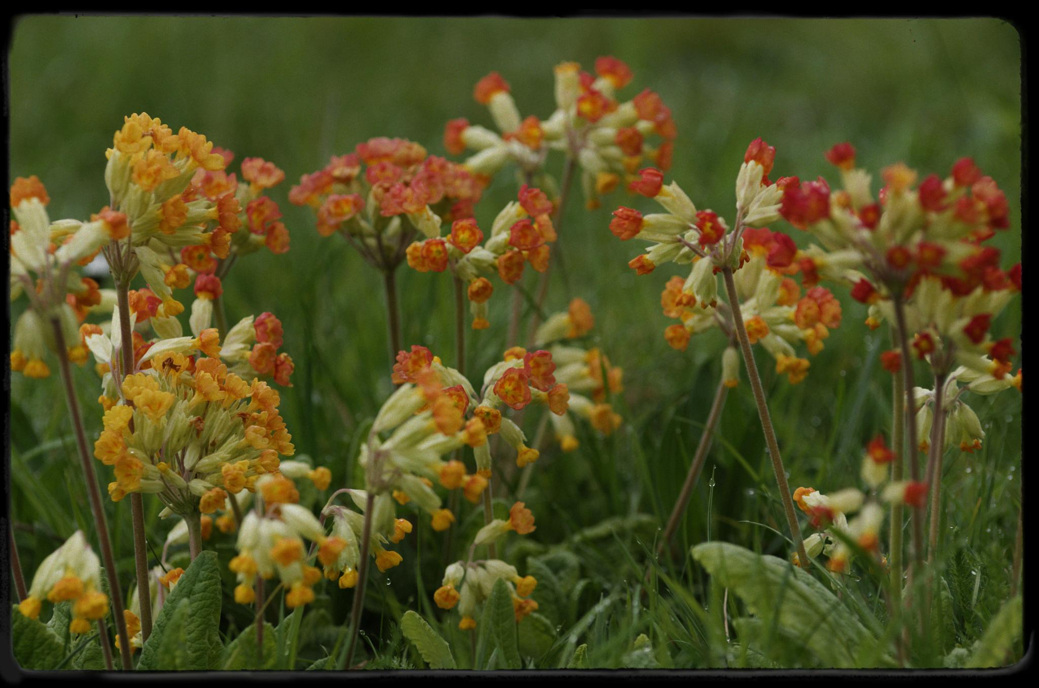 cowslip primula by paulrobin.andrews