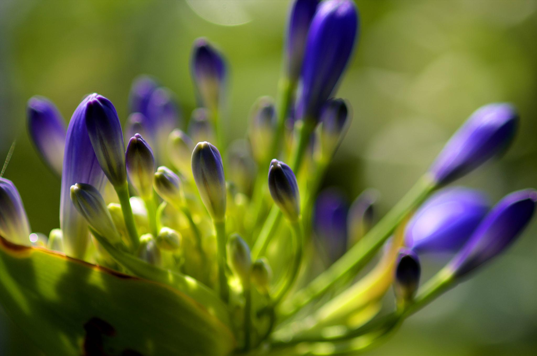 agapanthus by paulrobin.andrews