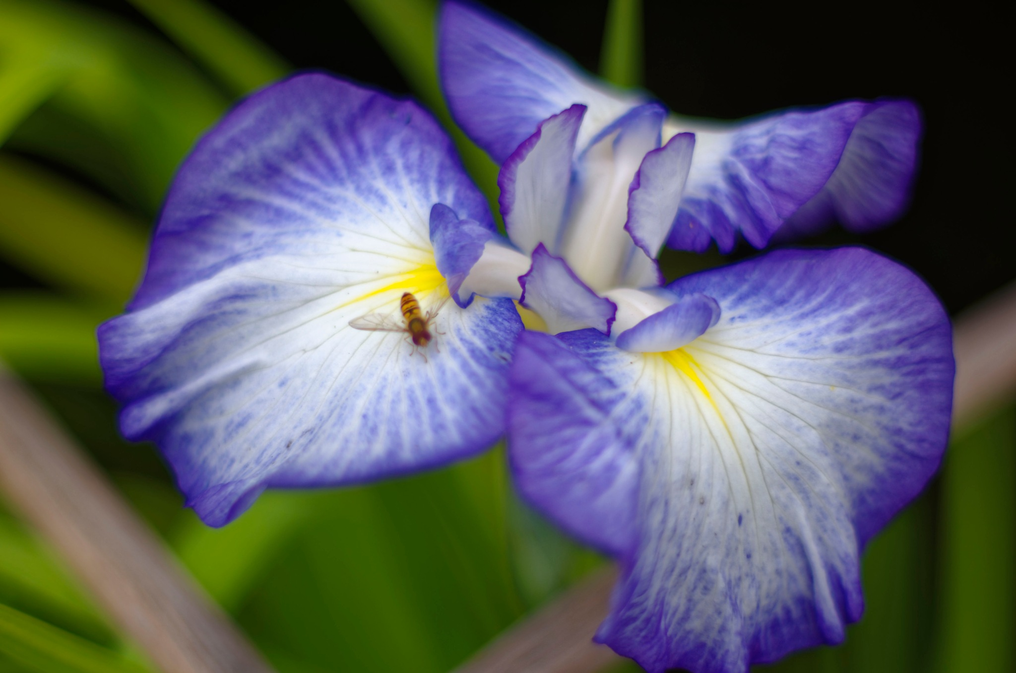 iris&hover fly by paulrobin.andrews