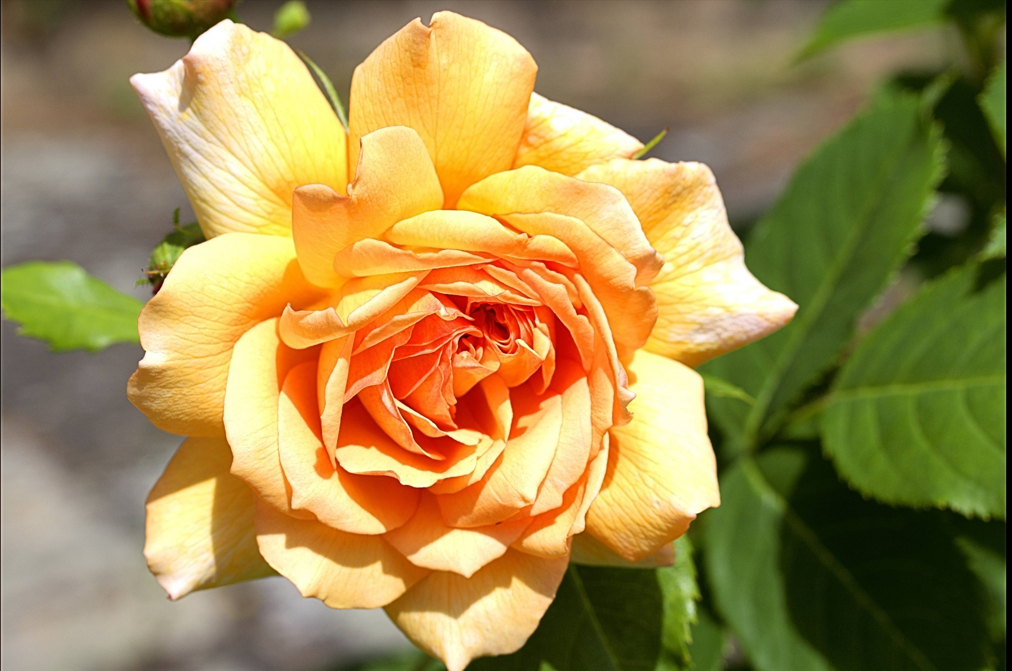 rose by paulrobin.andrews