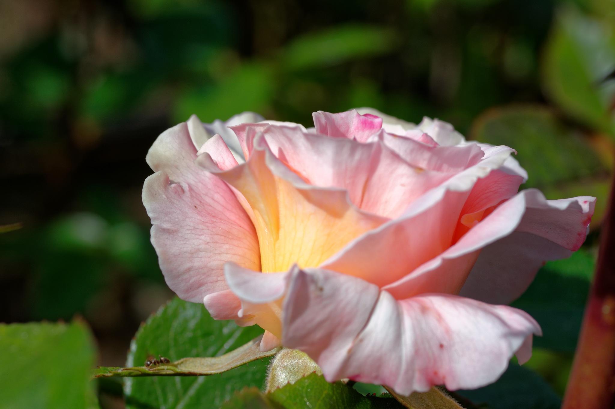 pink by paulrobin.andrews