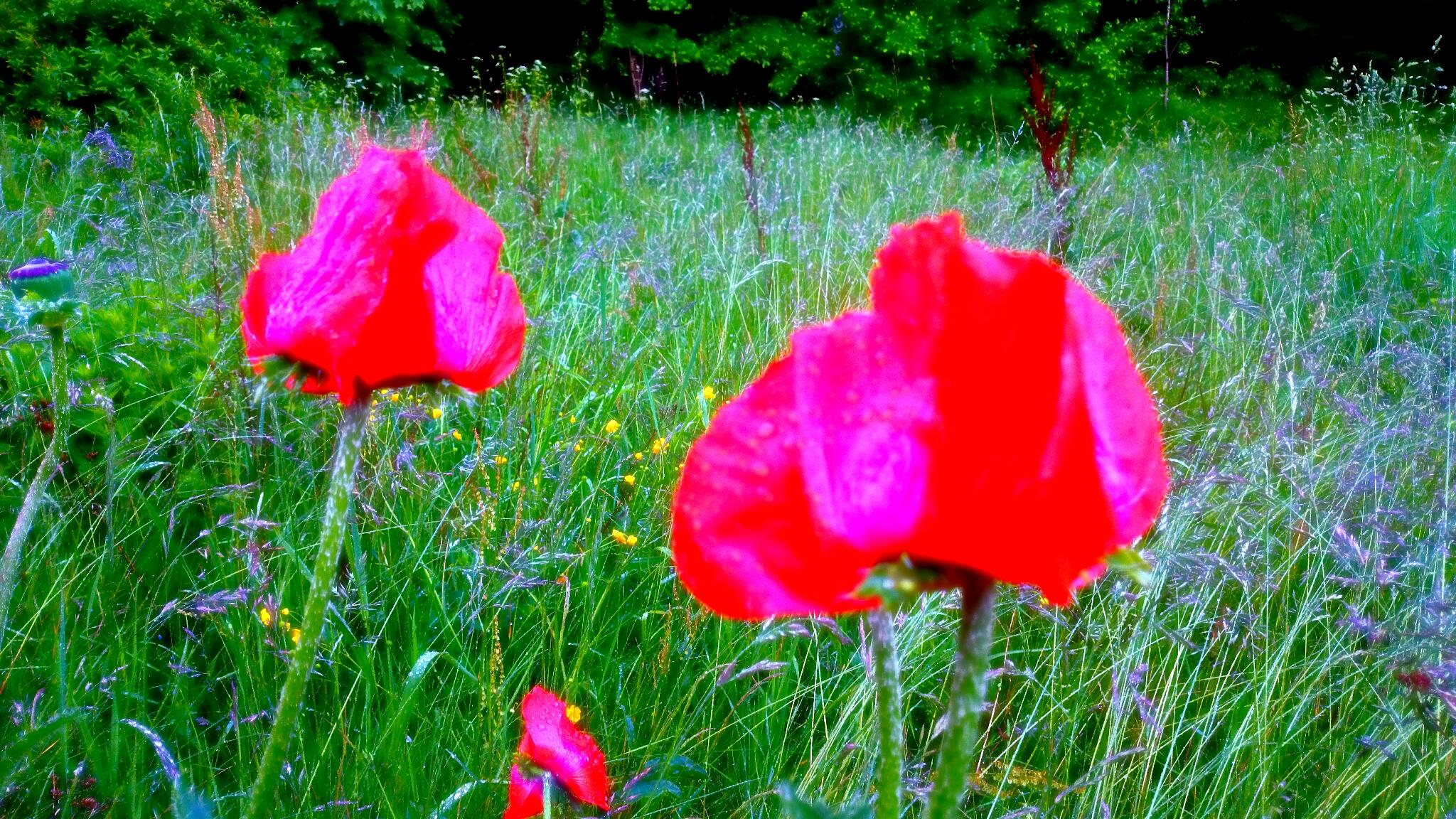 Poppy flowers  by Sherlina