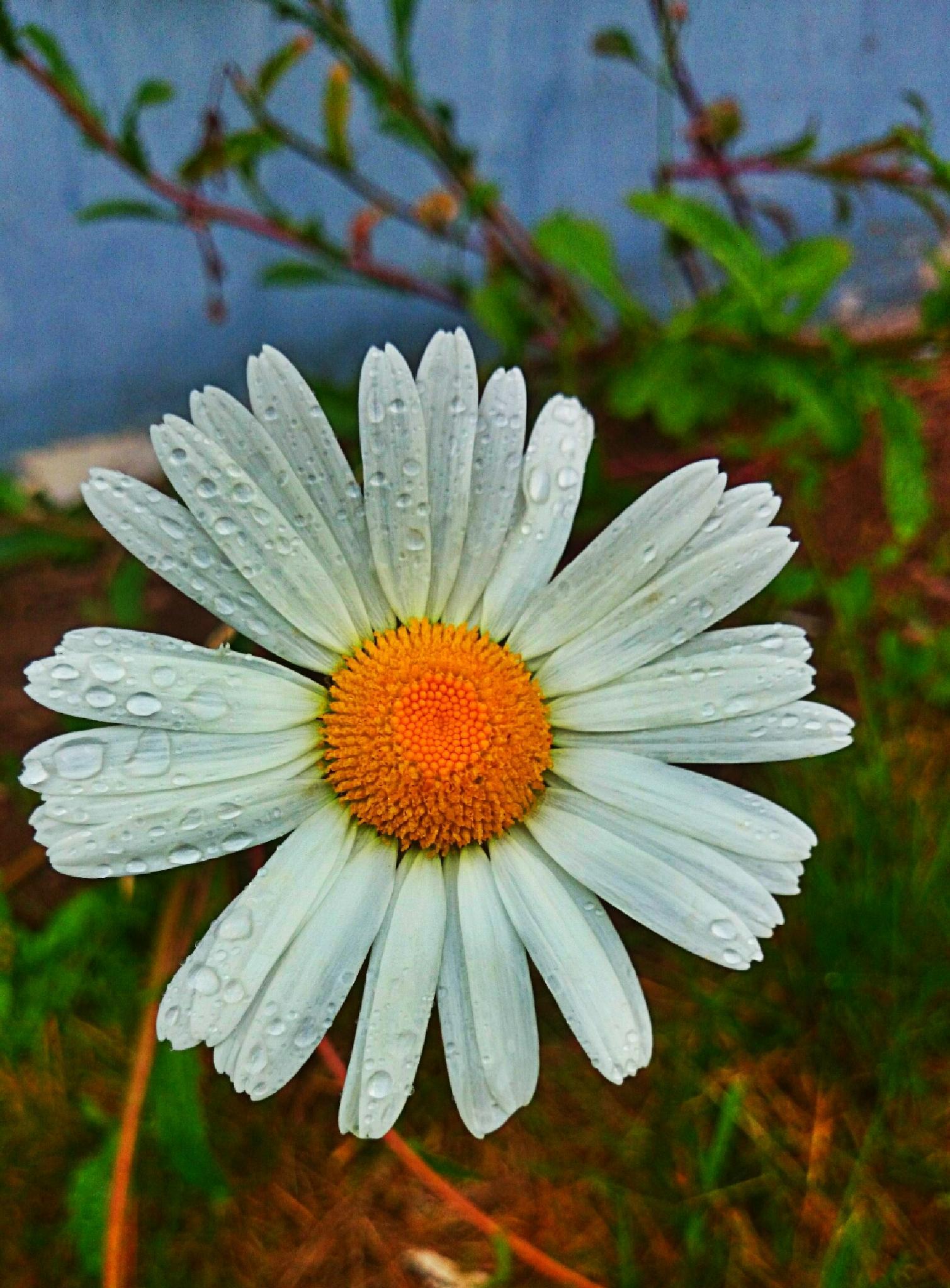 Daisy by Sherlina