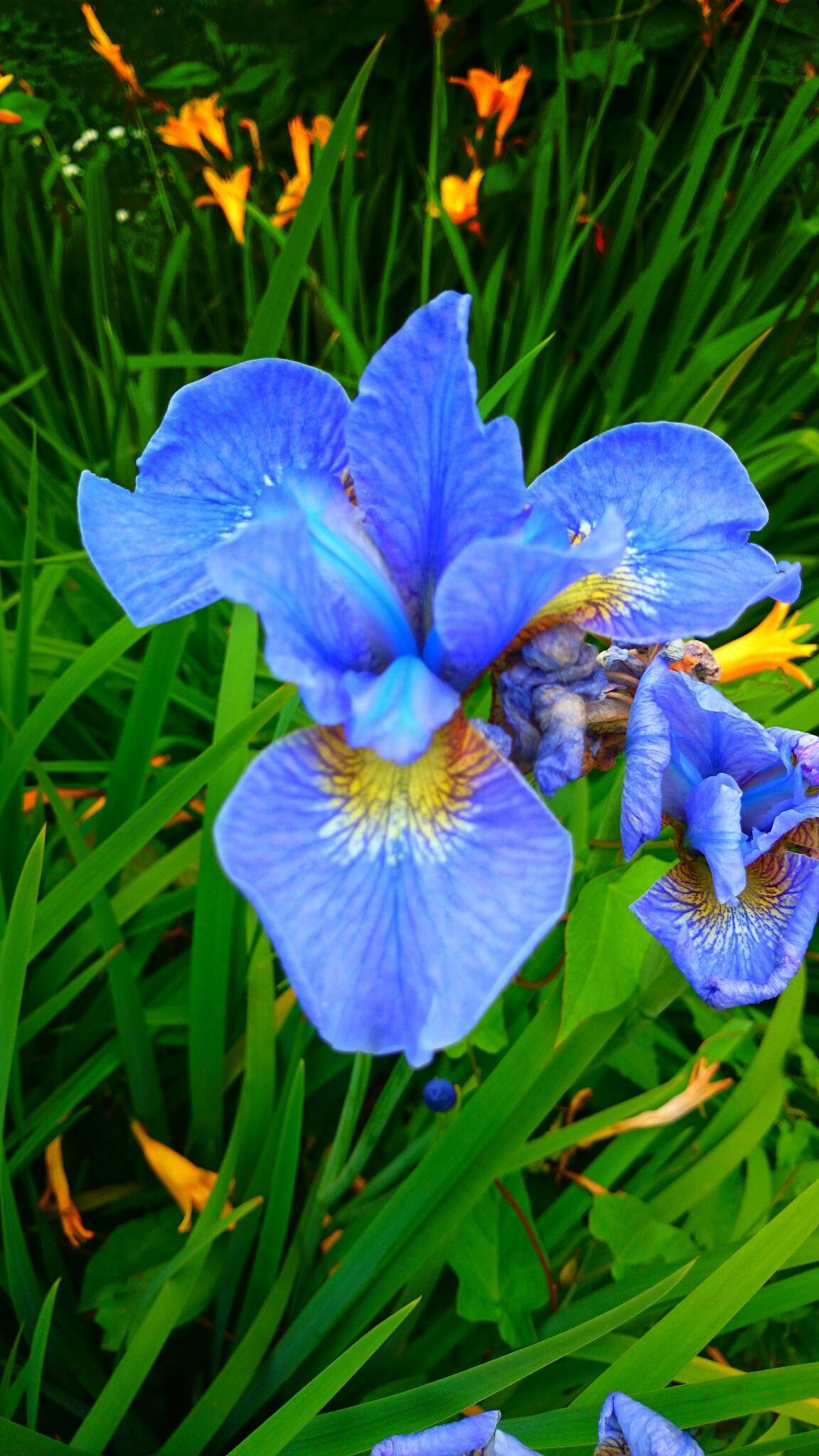 Purple iris by Sherlina