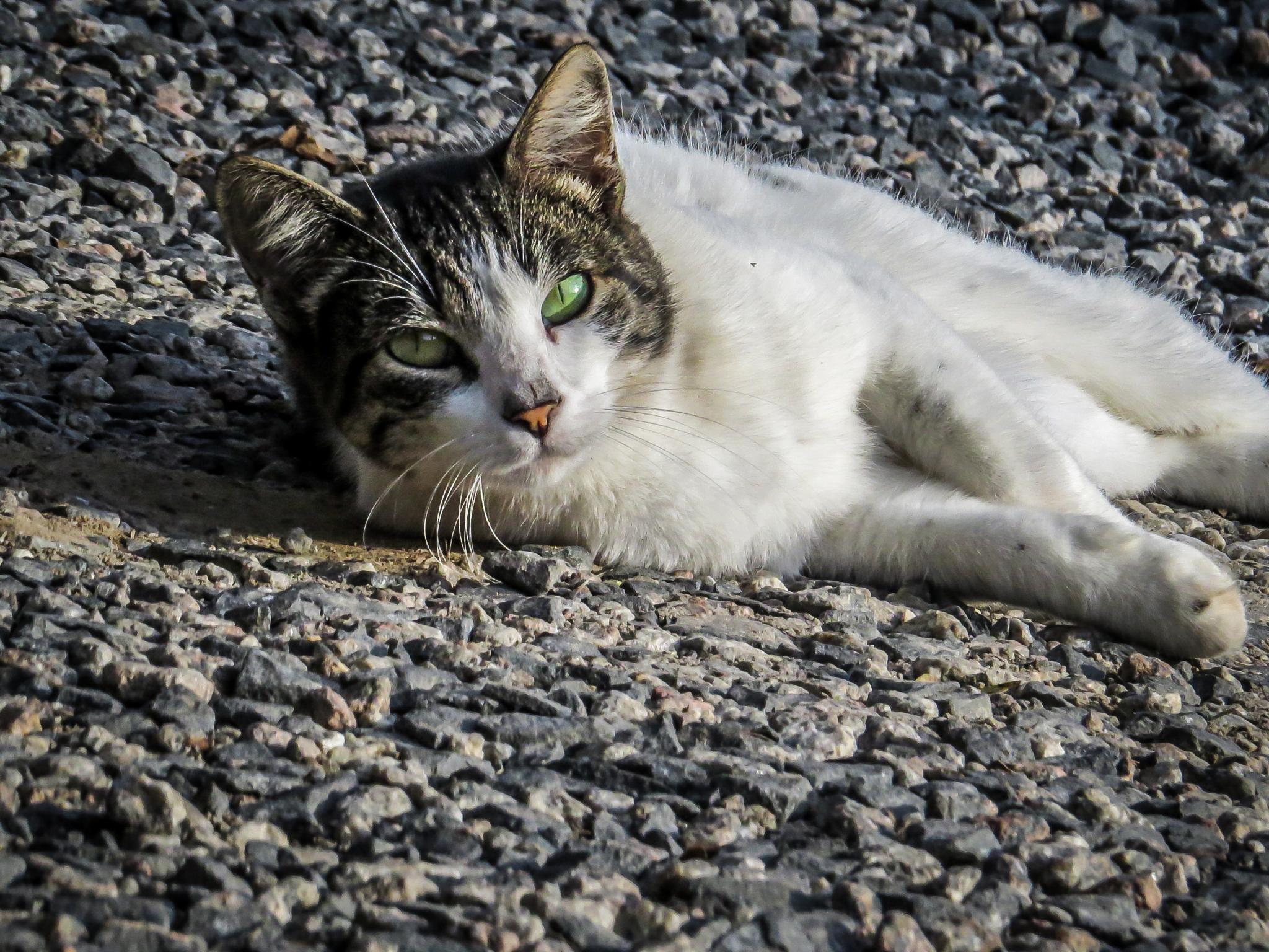 Gato relaxando by CarinaNakai