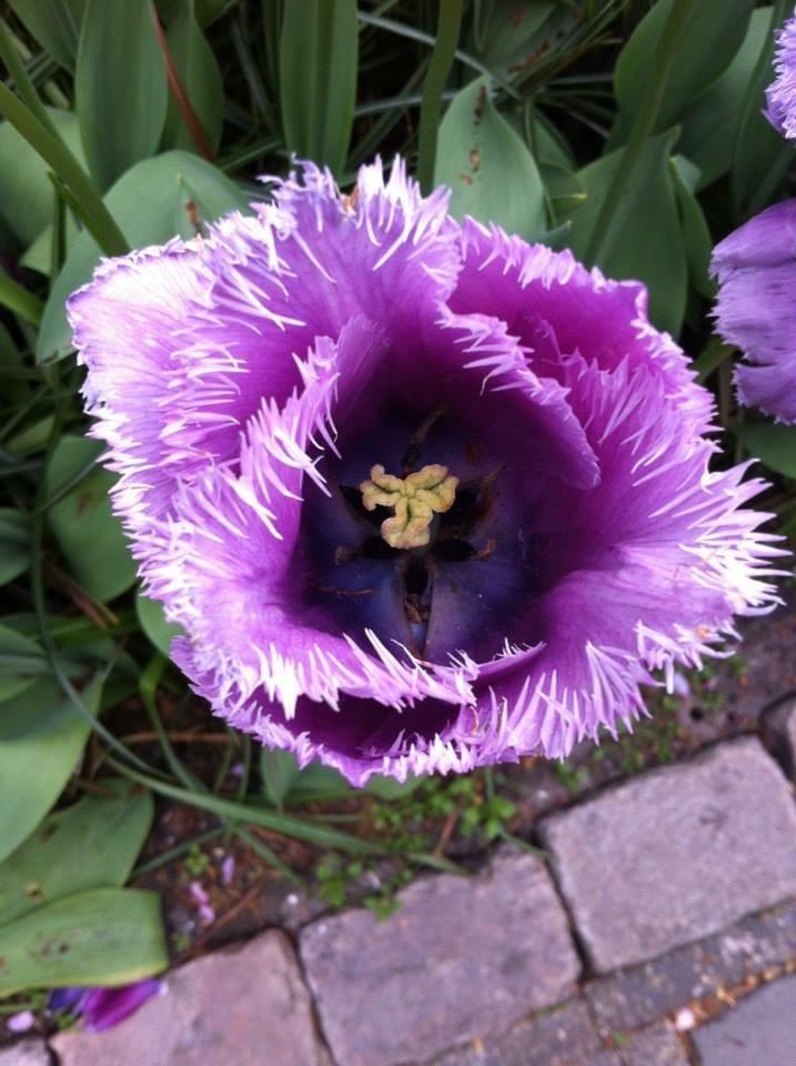 Photo in Nature #tulp #bloem